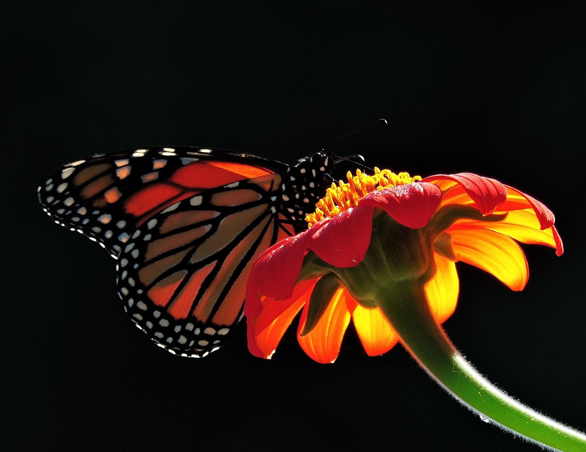 Majestic Monarch by keystonecops555
