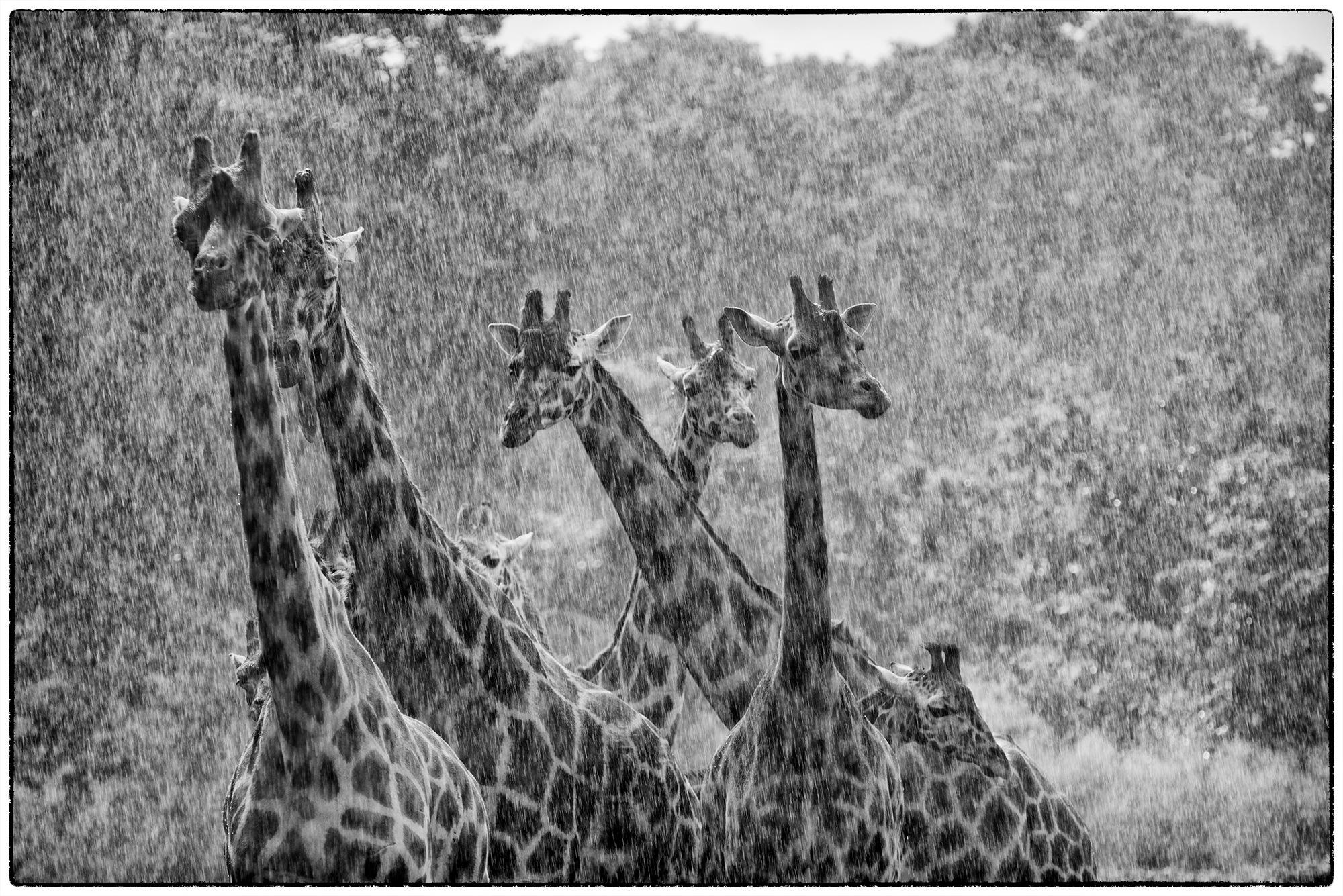 Giraffes in the rain by desmcmahon5