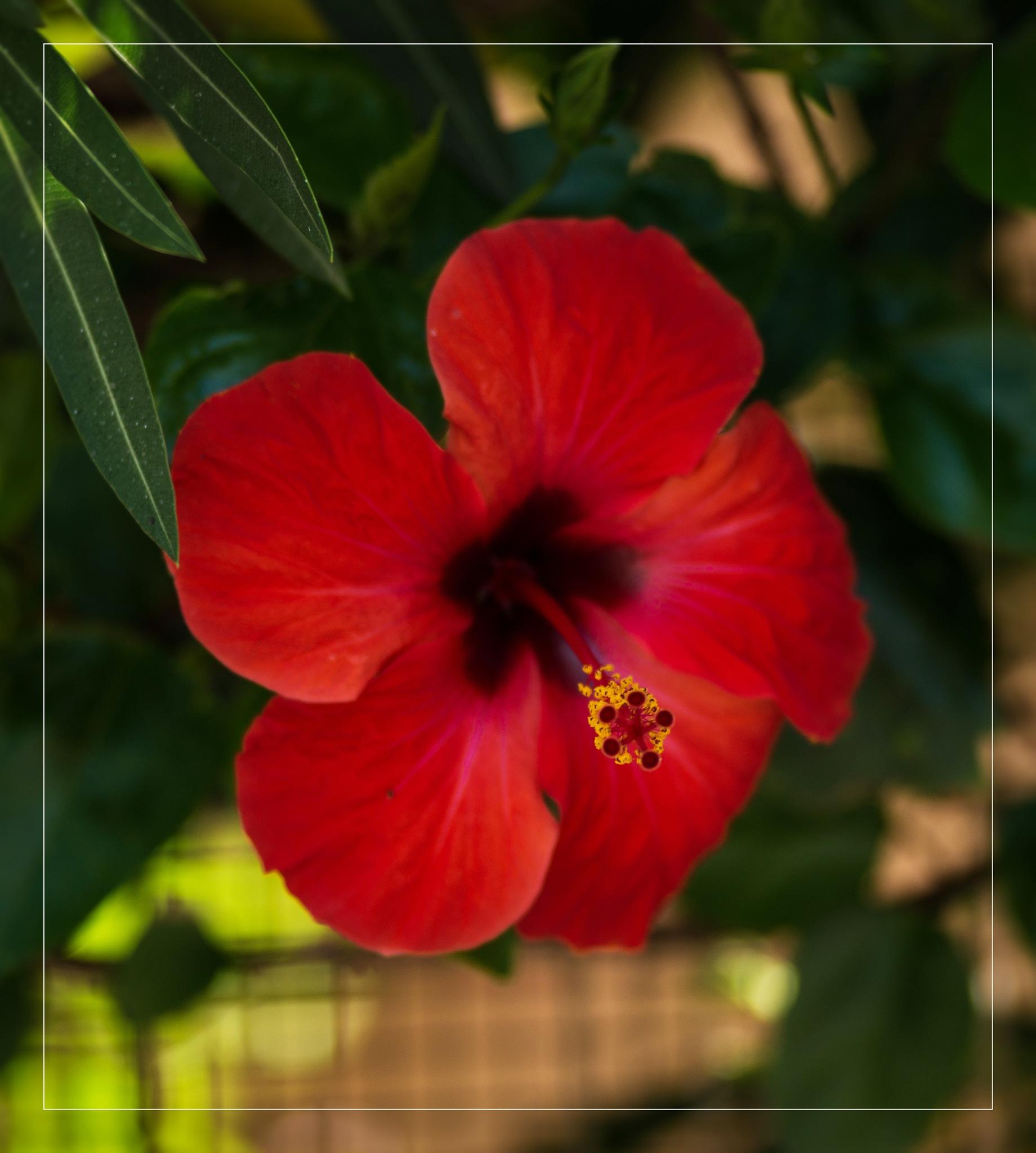 Ibiscus by corvonero