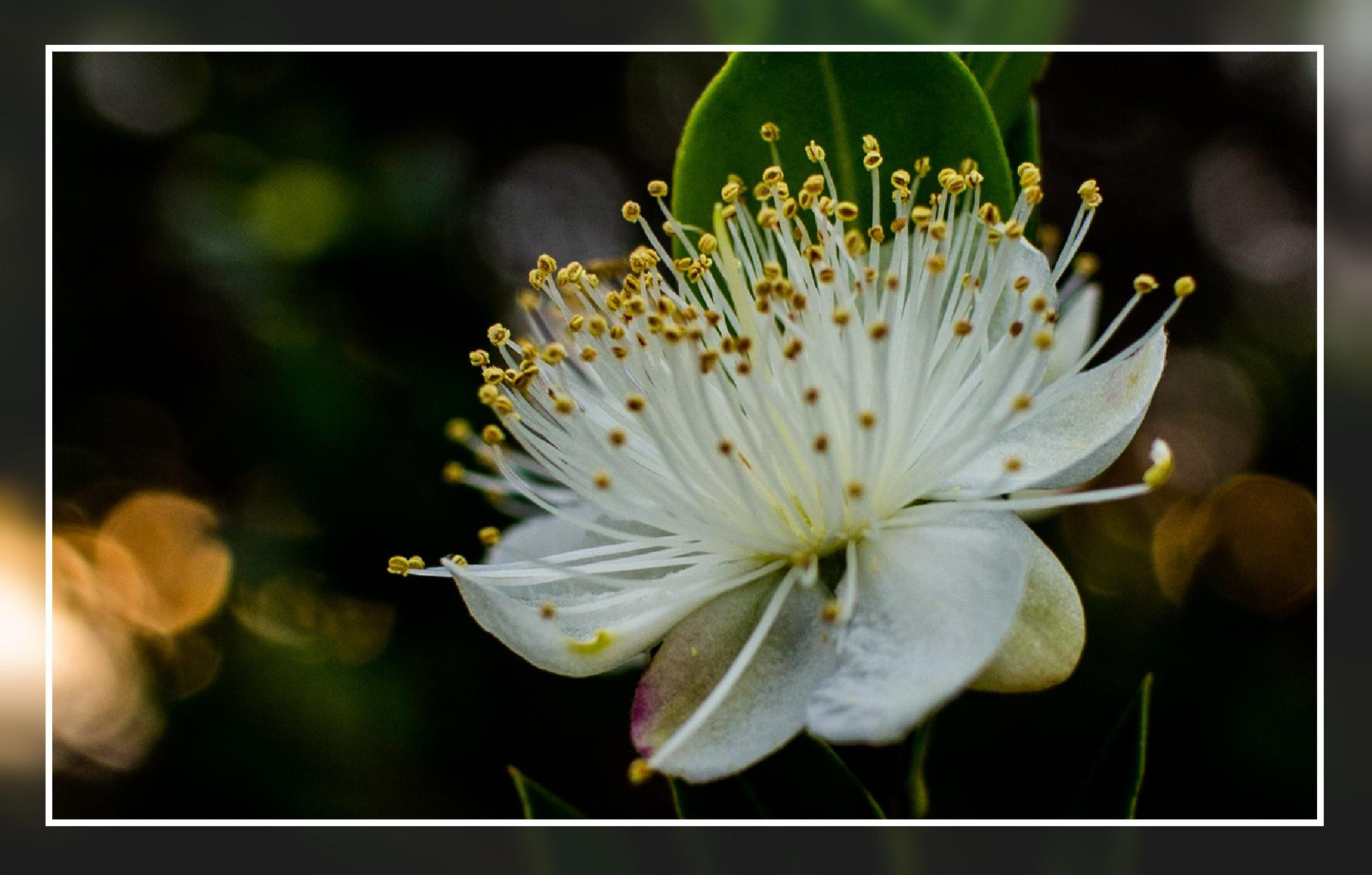 Fiore del Corbezzolo by corvonero