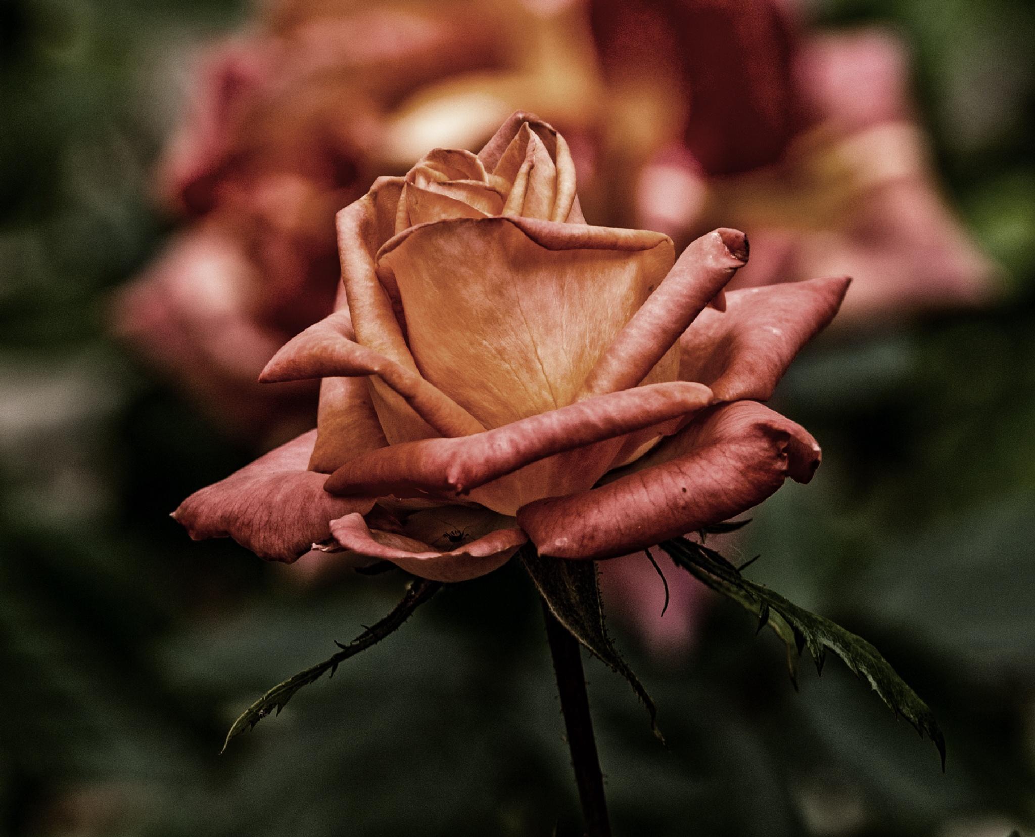 Rosa by corvonero