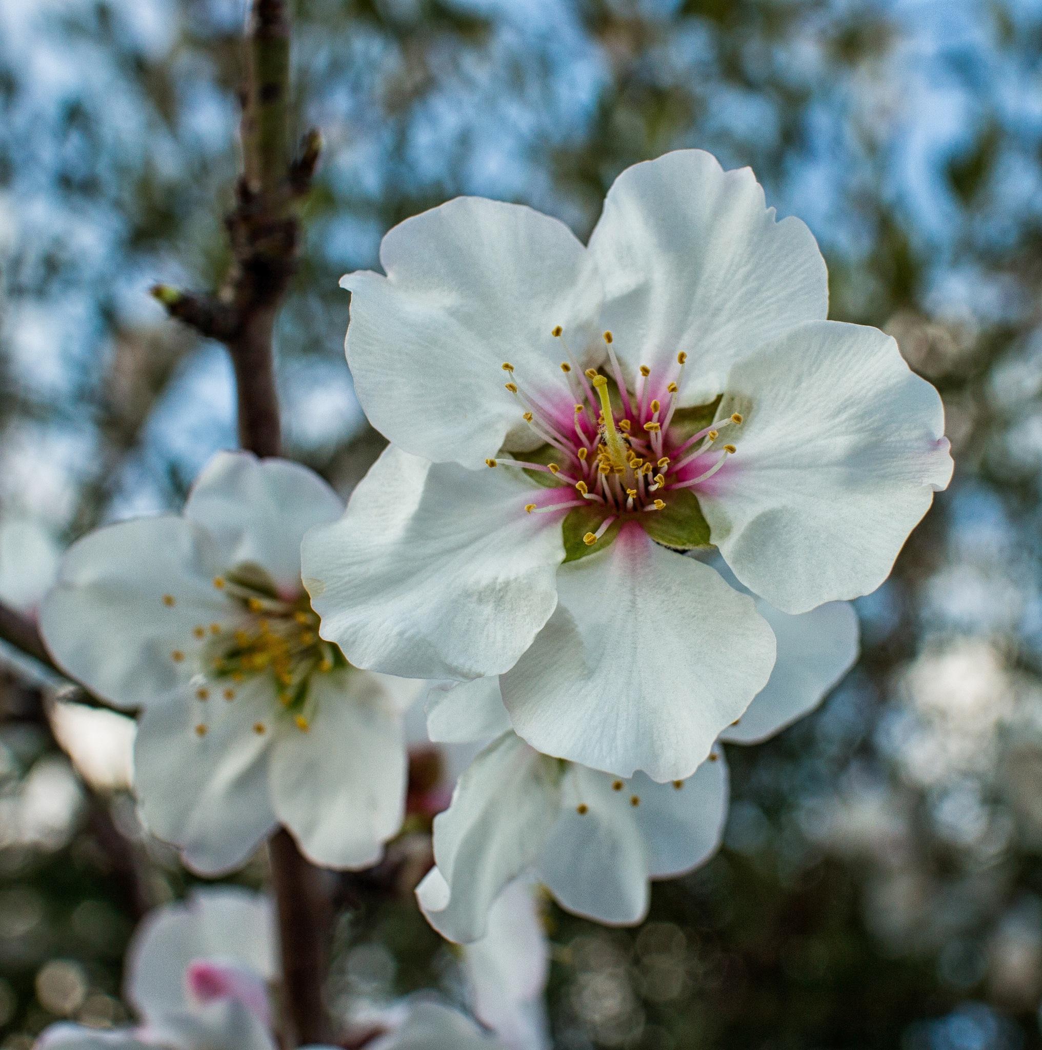 Mandorlo in fiore by corvonero
