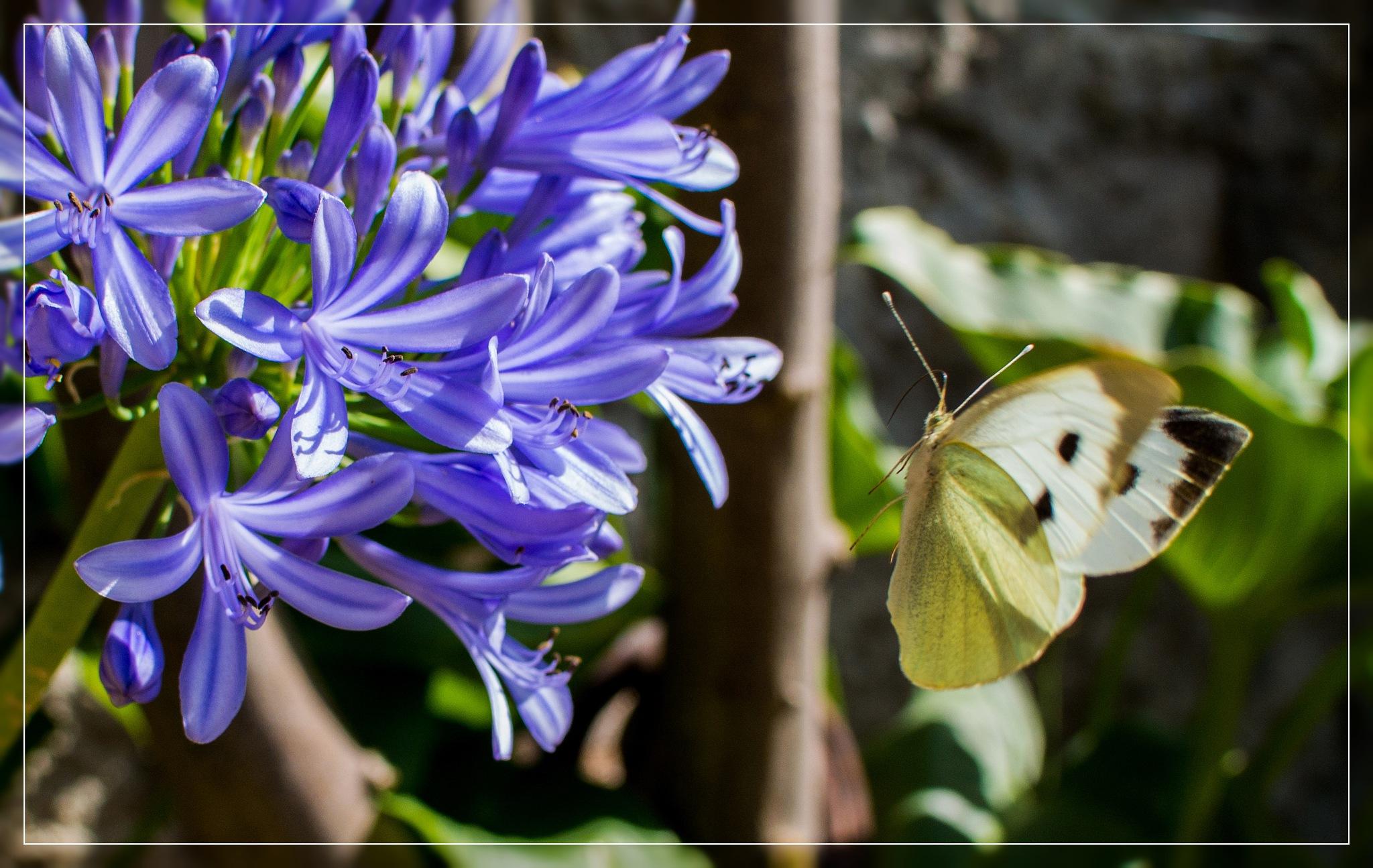 Farfalla by corvonero