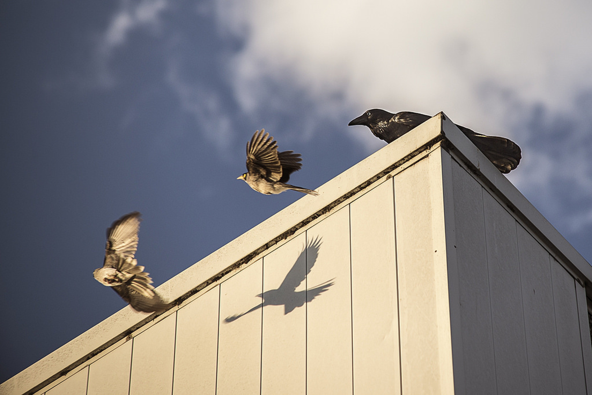 crazy crows 9 by Doc Jones