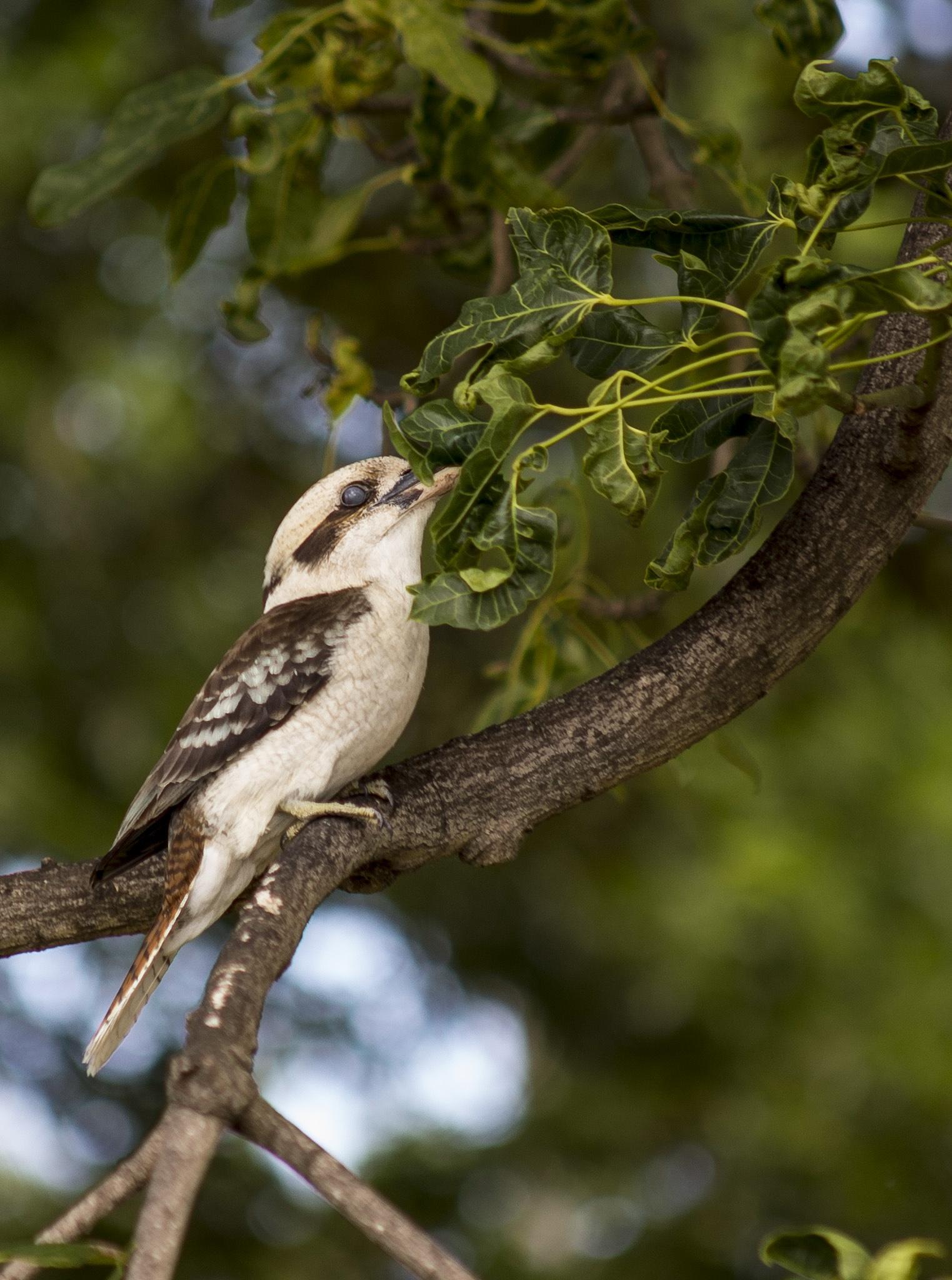 kookaburra by Doc Jones