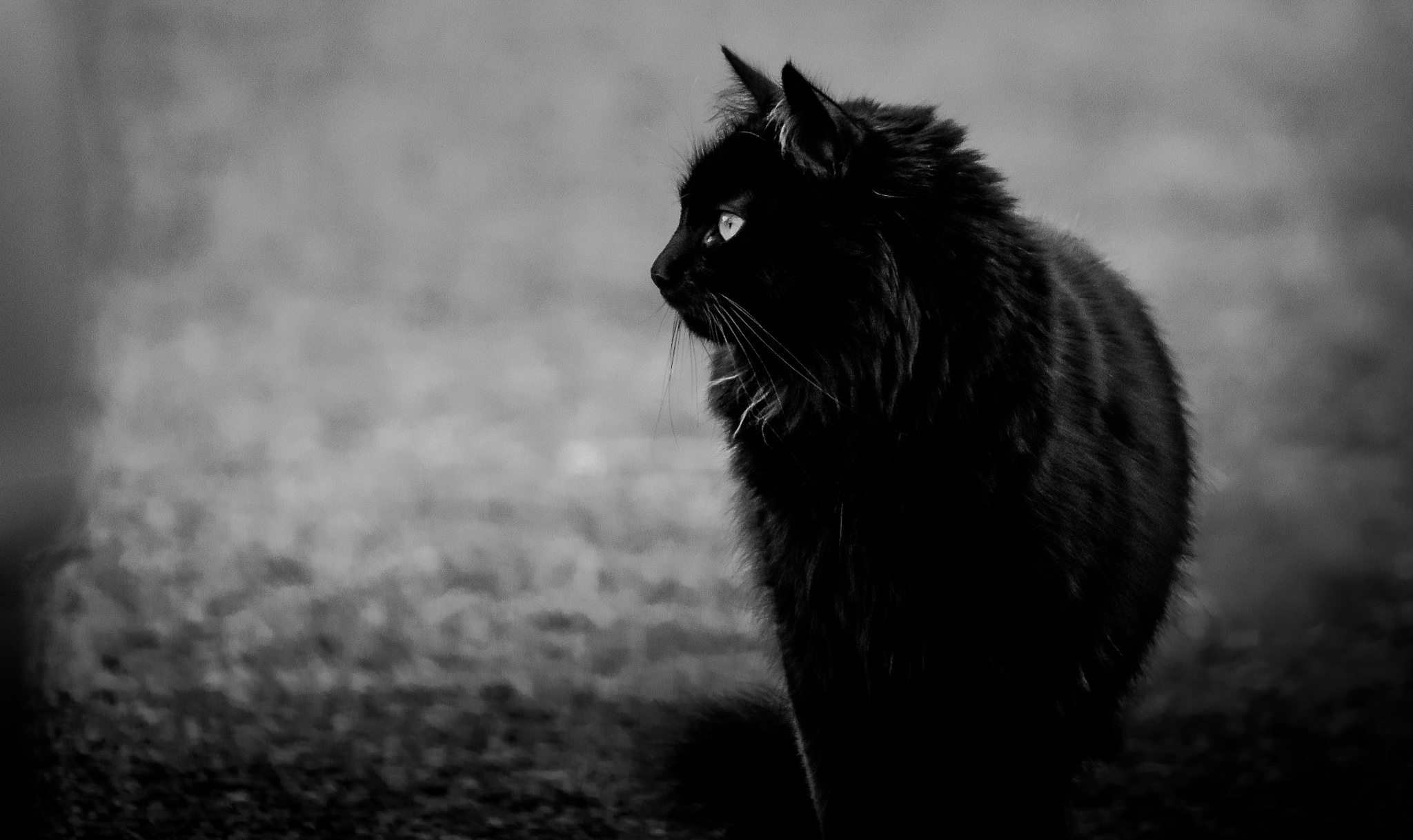 black cat by Ric797