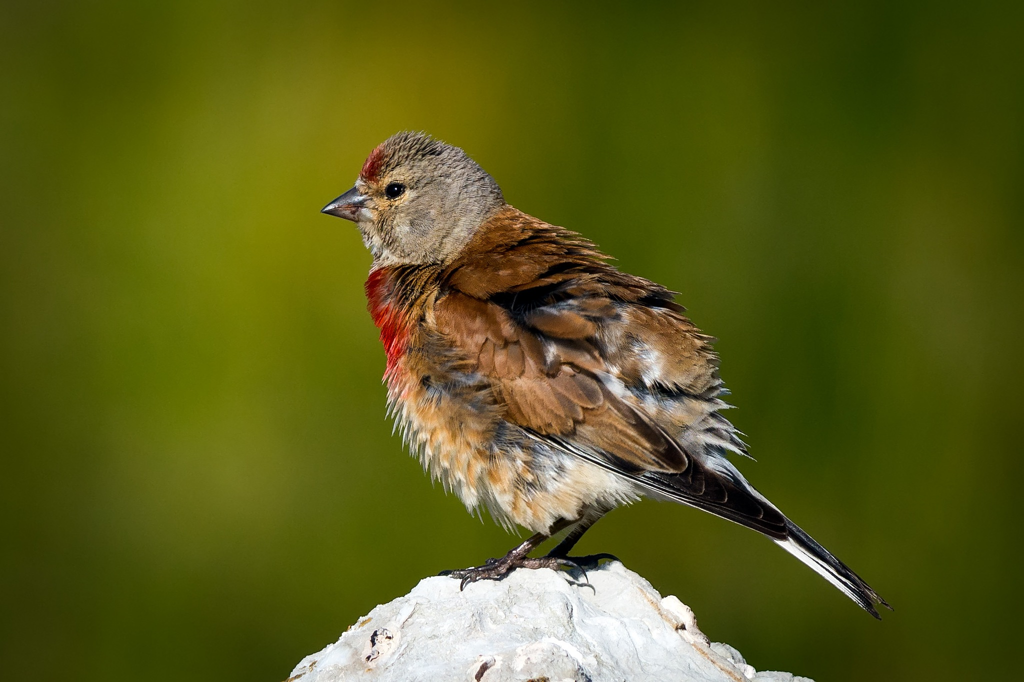 Common linnet by Matteo Cargasacchi