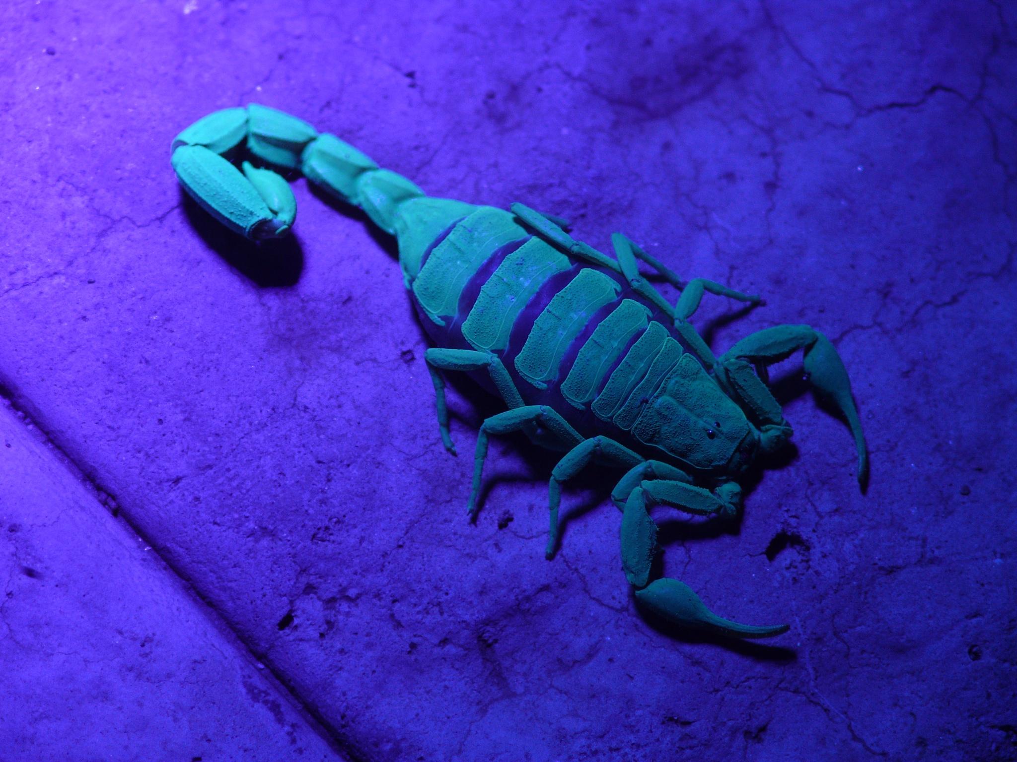 Scorpion under UV light by johannesvangraan02