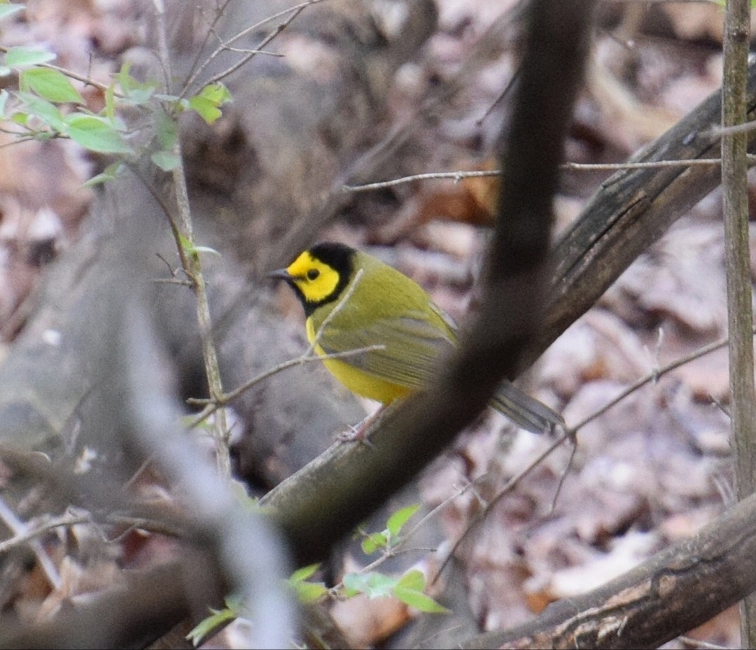 Hooded Warbler by Orlando Fonseca