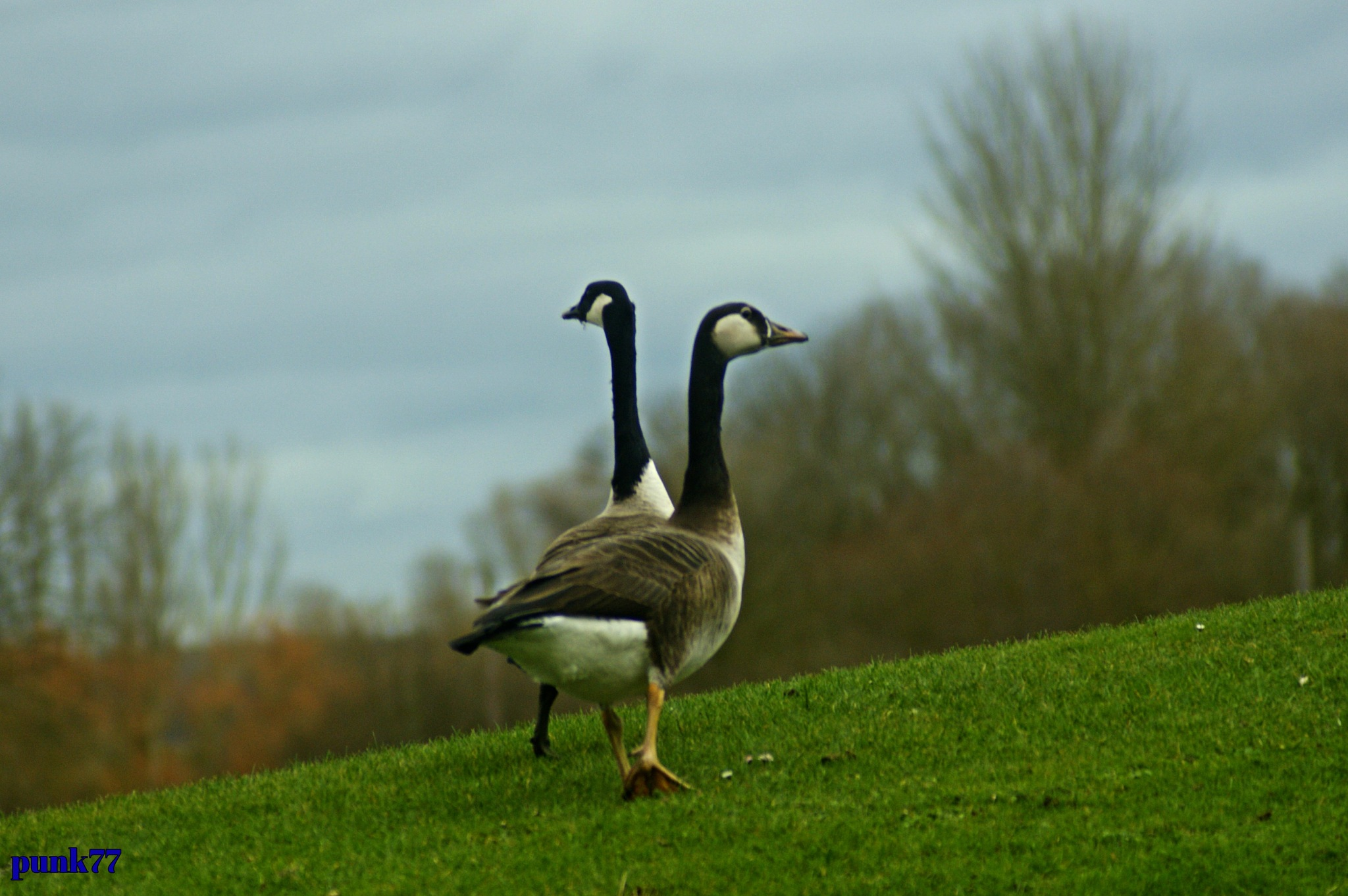 Canada goose by punk77