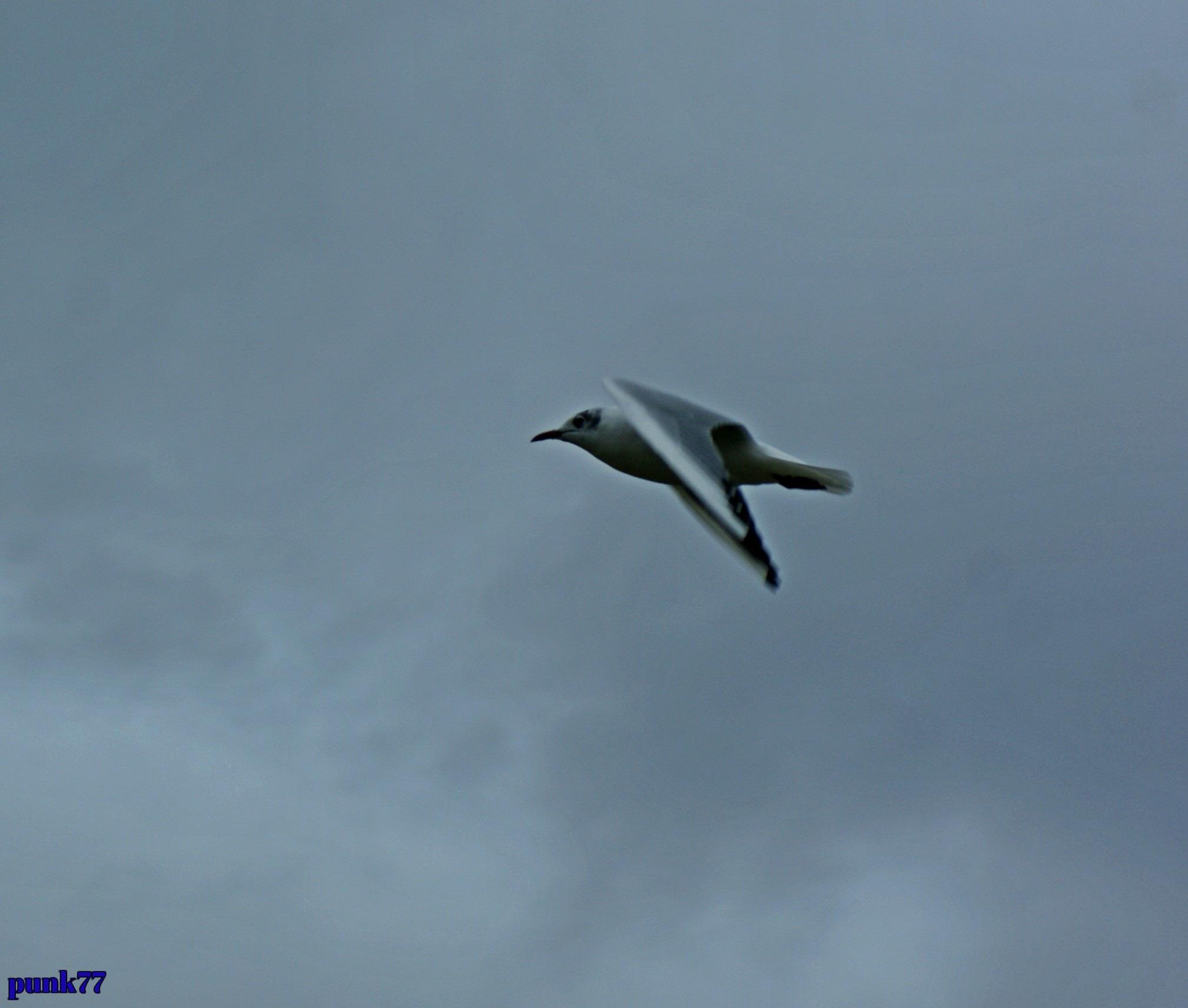 Black headed gull by punk77
