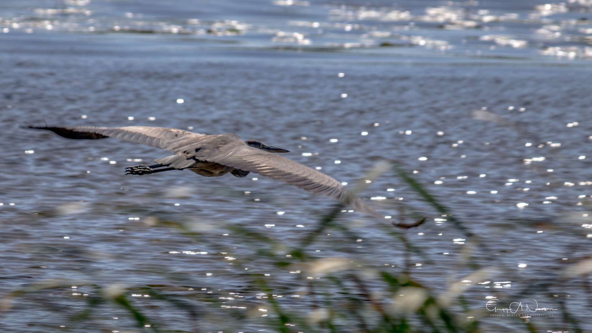 Blue Heron.....Last by Gnewsom324