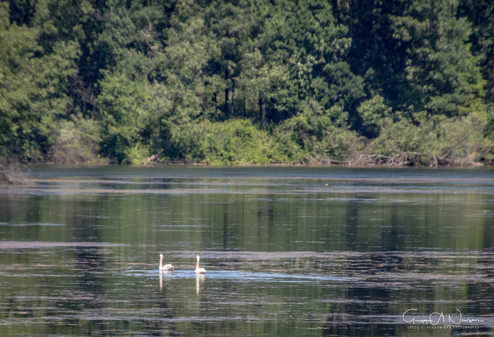 A pair of Swans. by Gnewsom324