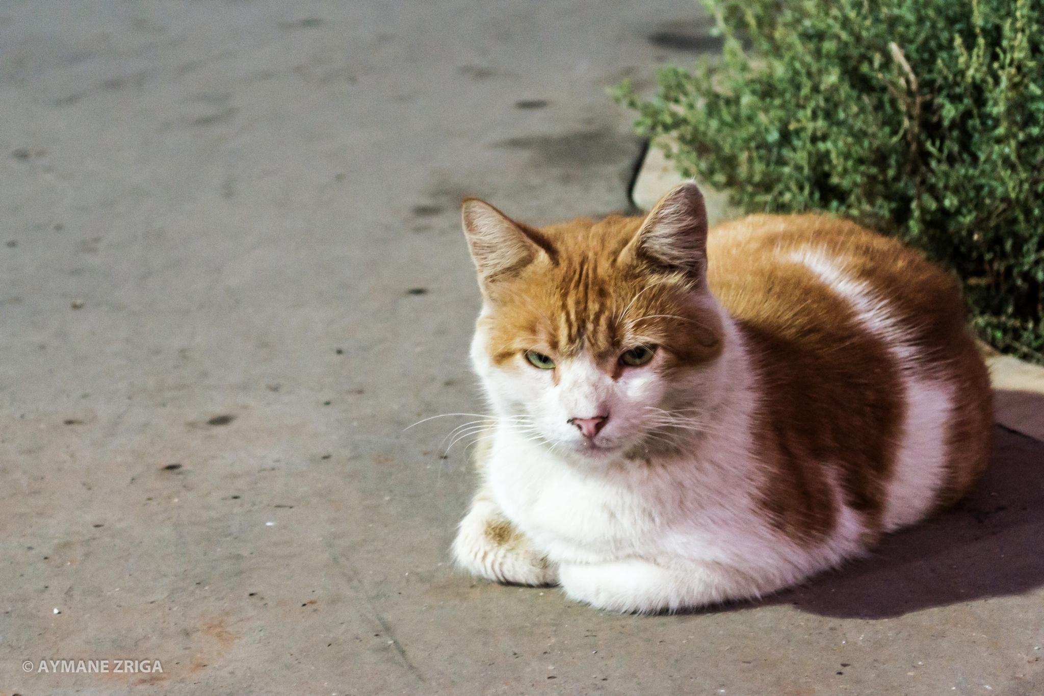Grumpy Cat by Aymane Zriga