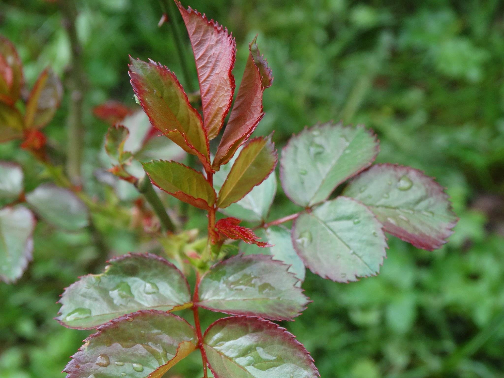 Leaves of the rose - Liście róży by Marzenna Głogowska