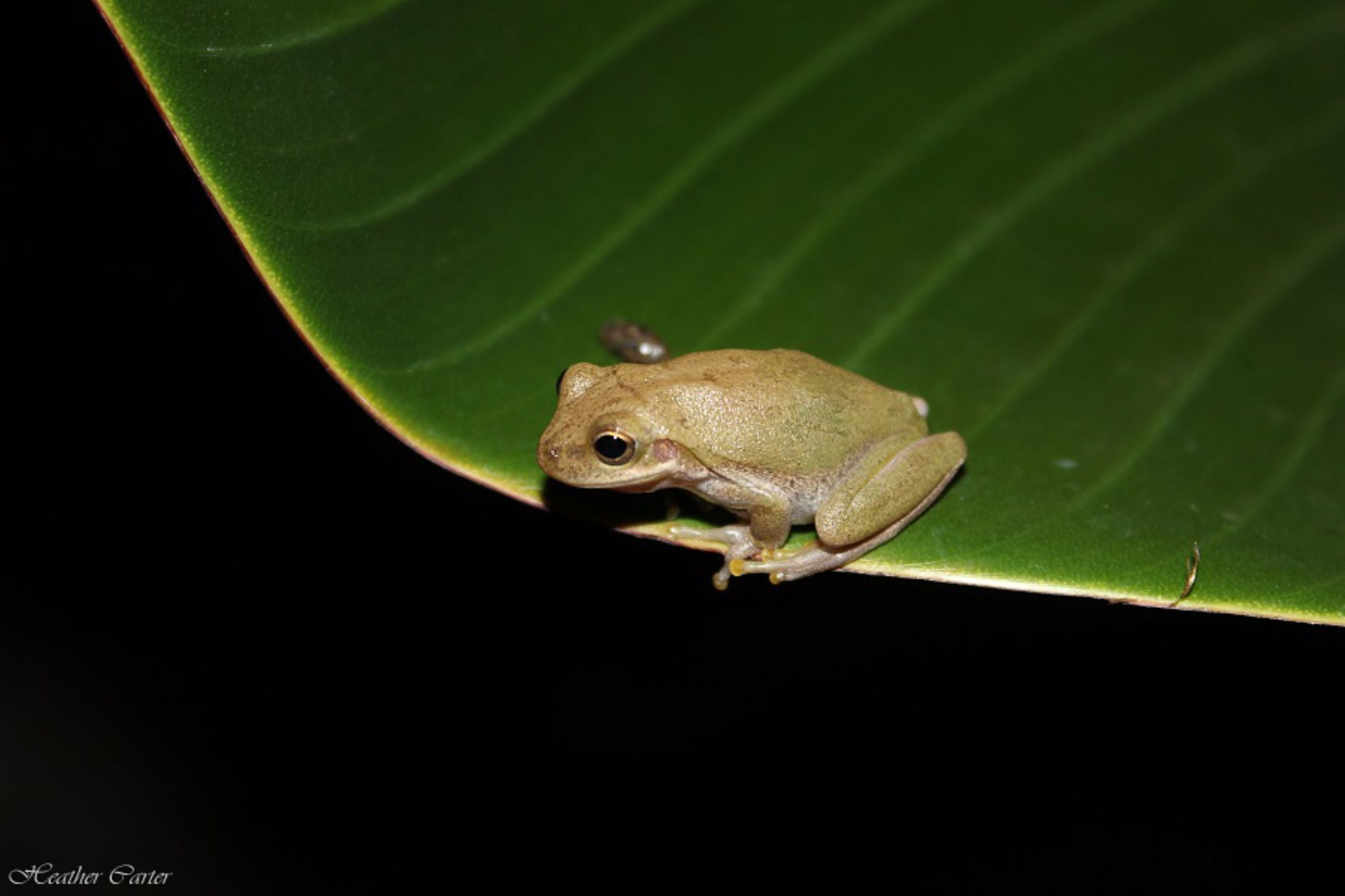 Frog by night.................... by heathercartermartin