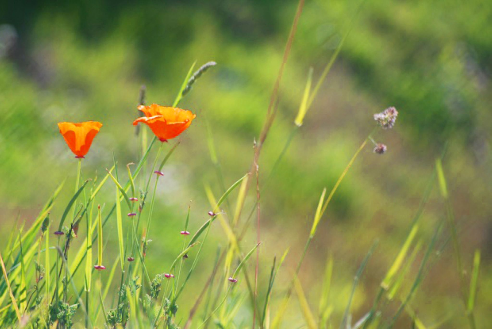 Poppies in the wild by heathercartermartin