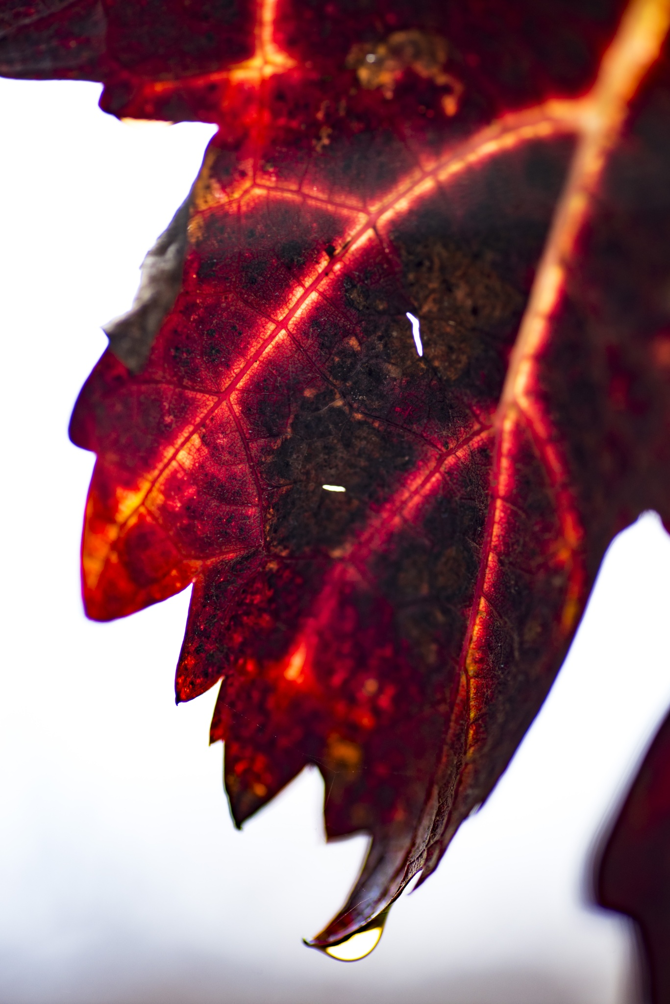 vine leaf by Makis