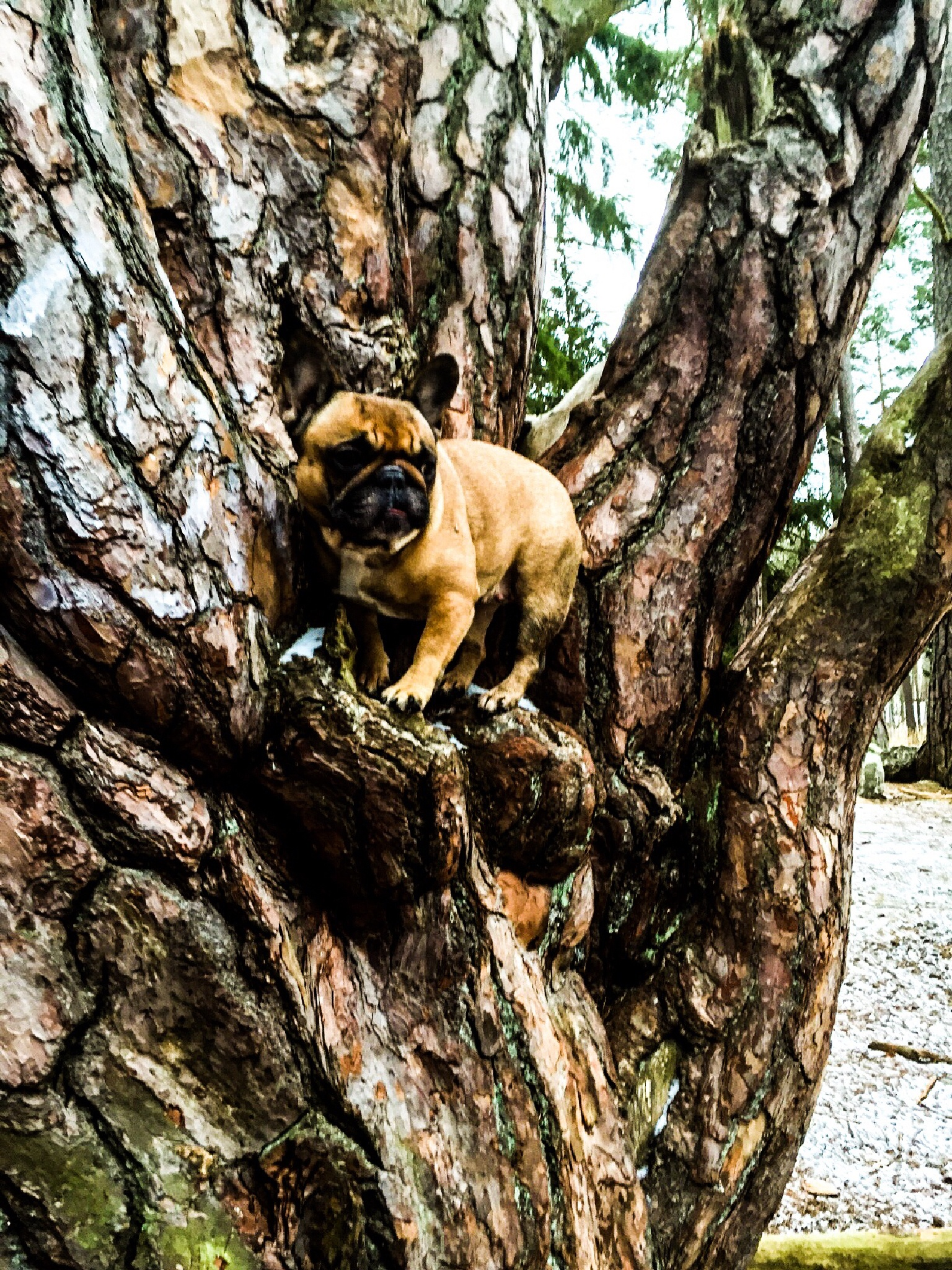 Pebbles our French Bulldogs sitting in her favorite tree by Patric Lundh
