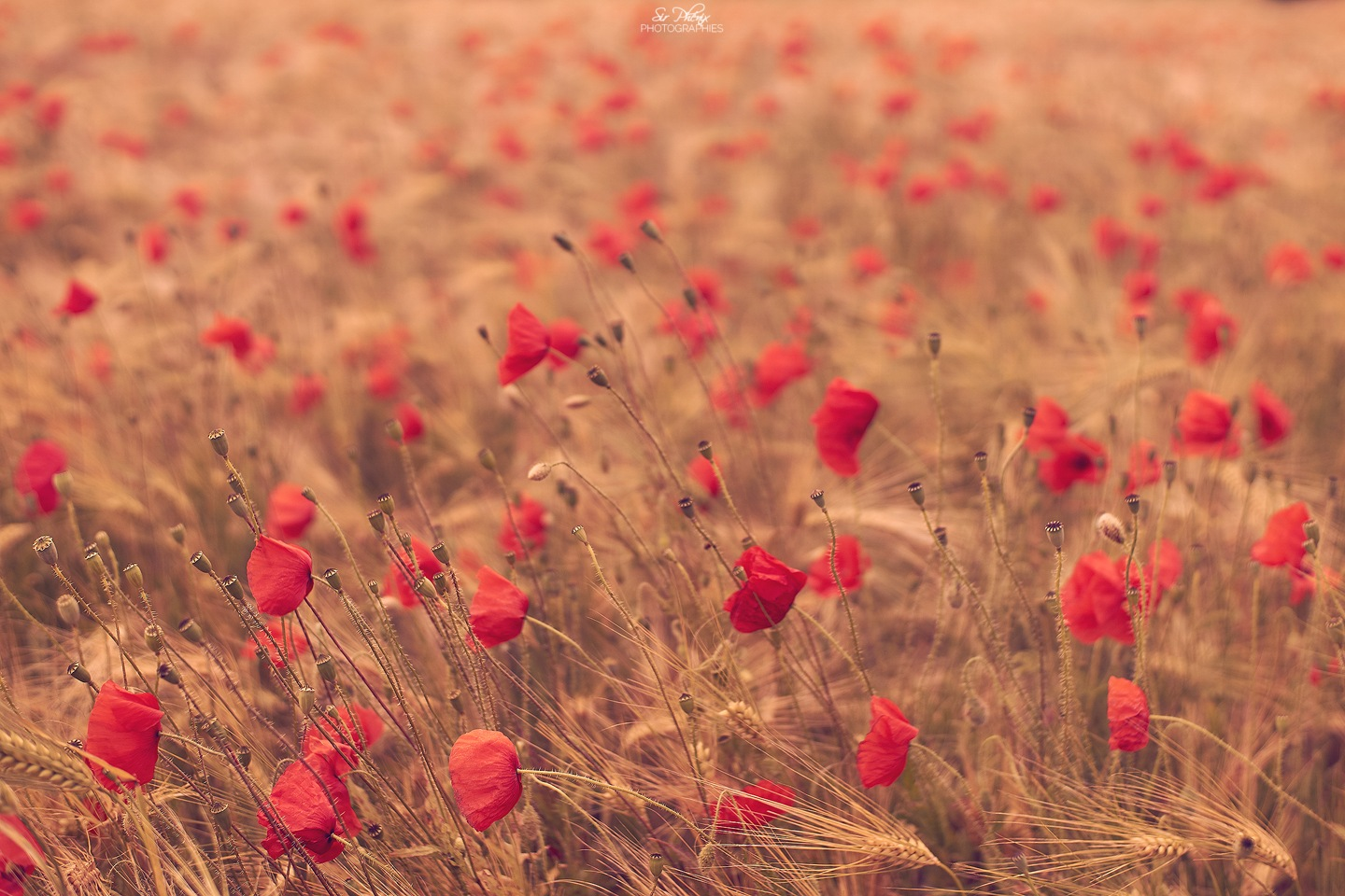 Wind, Poppies and Barley by SirPhenix