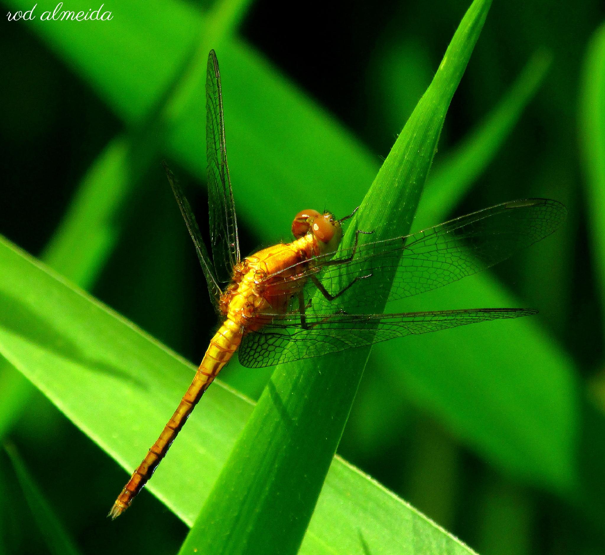 dragonfly by Rodolfo Almeida