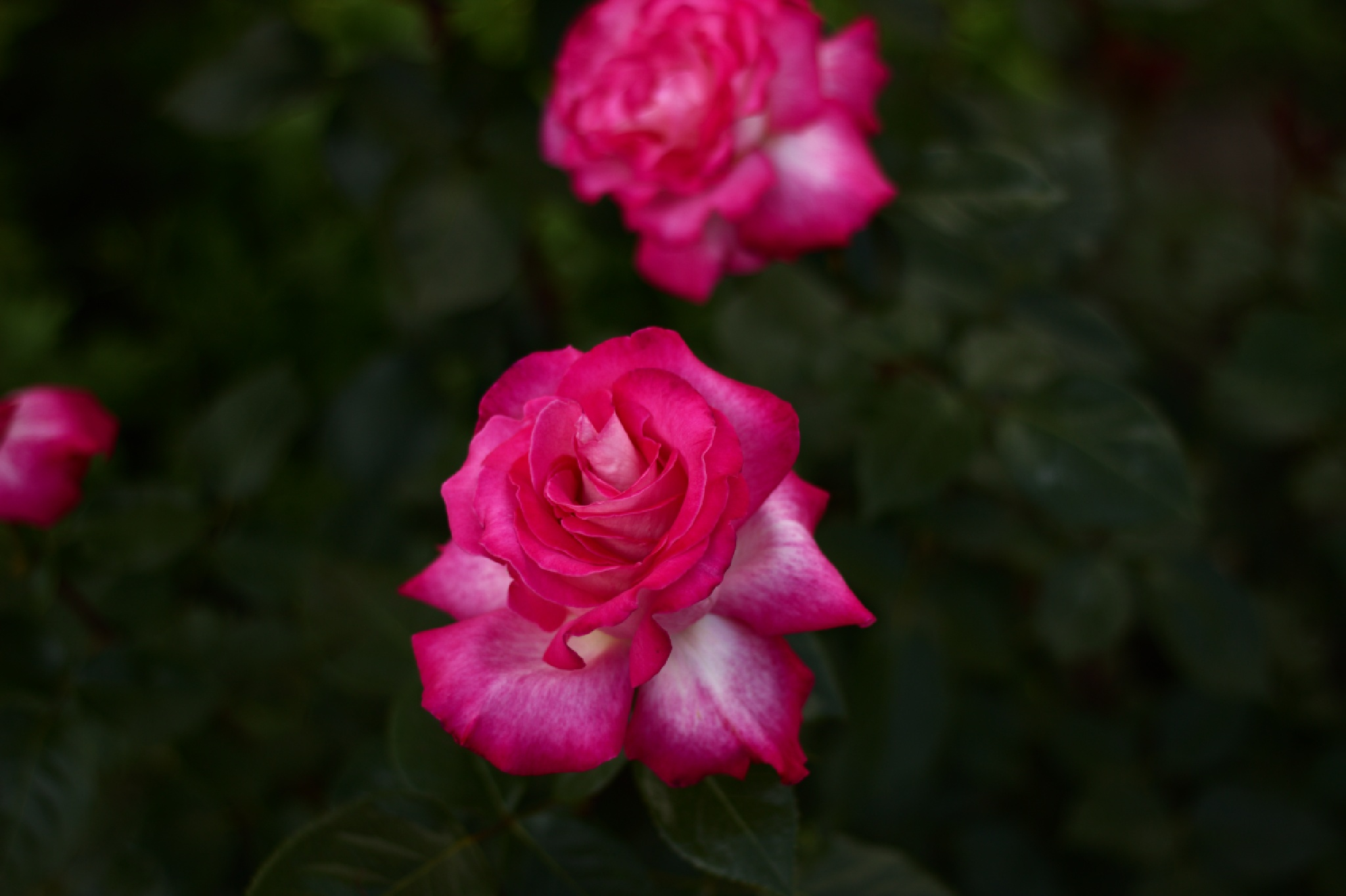Rose by Dimitroff