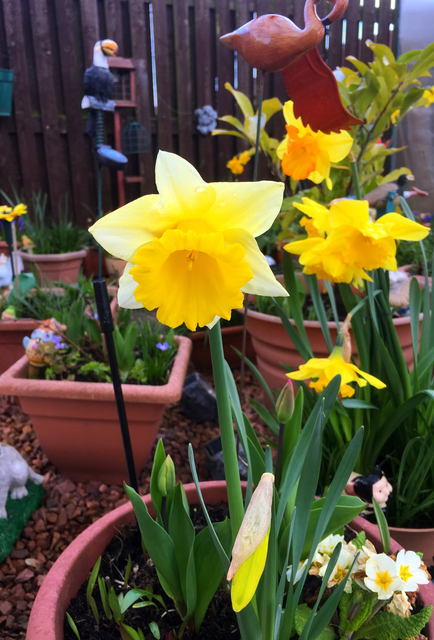 Spring Daffodils  by VFPhotographyScotland