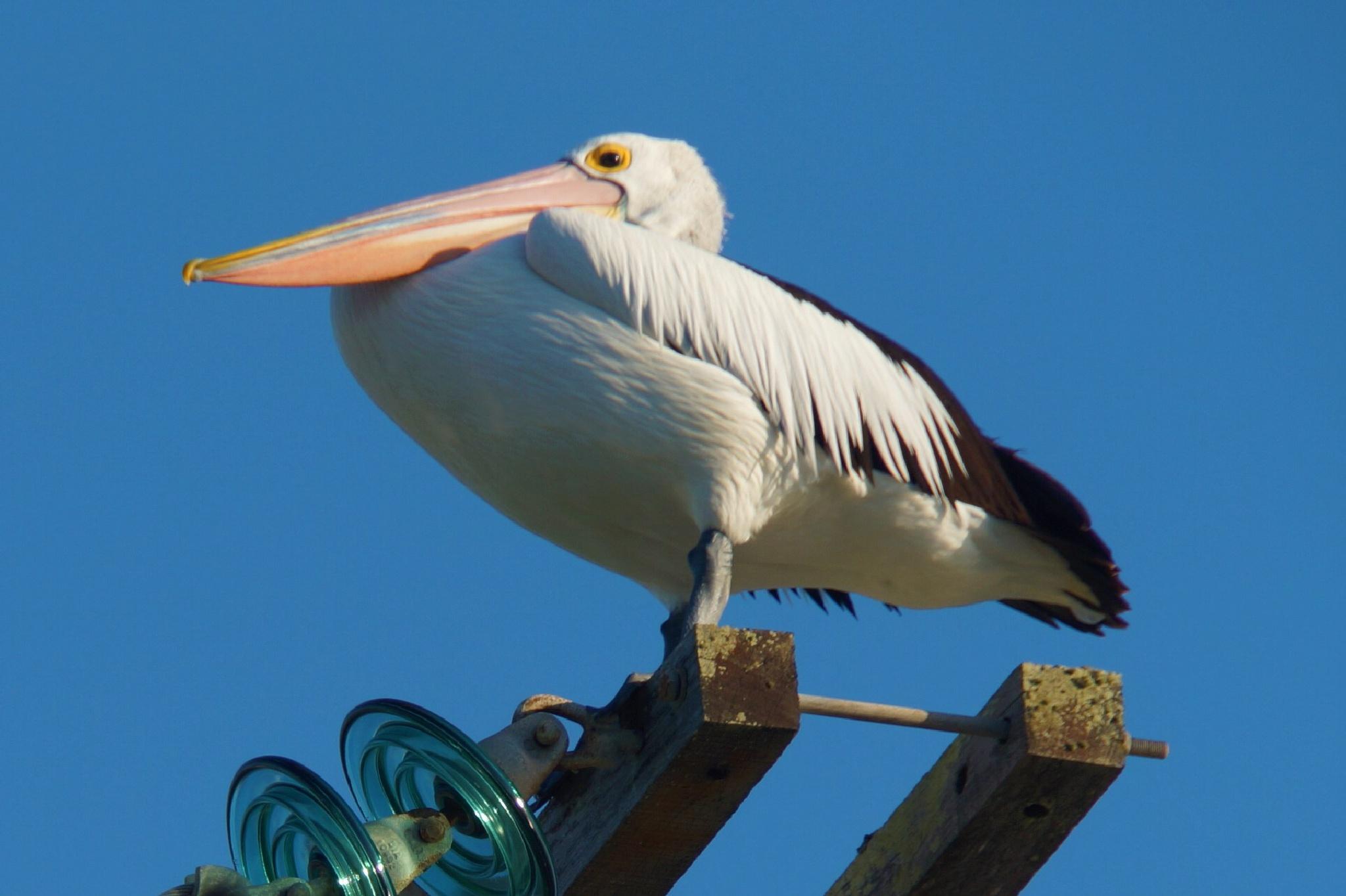 Pelican up high by Carole Walker