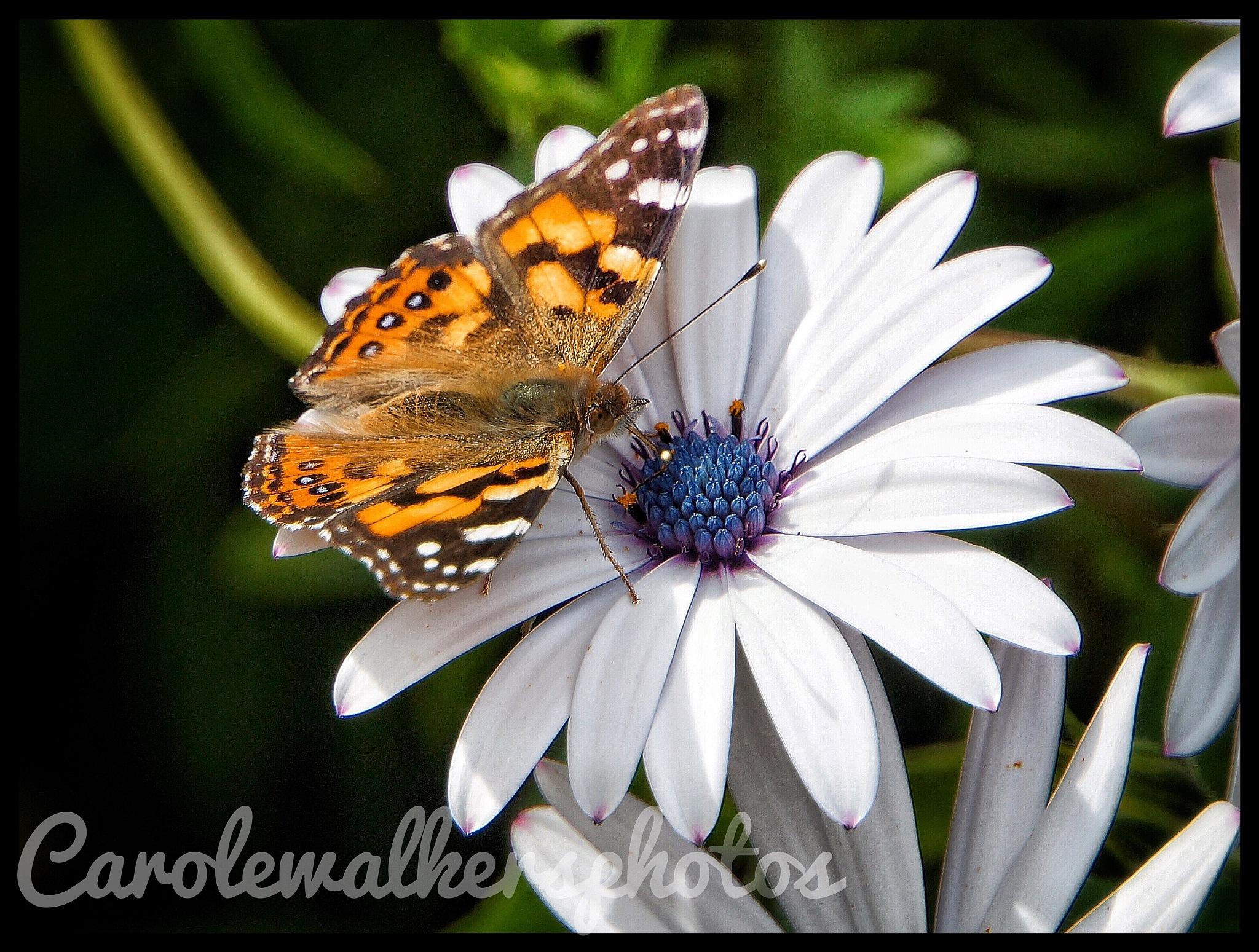 Chasing Butterflies  by Carole Walker
