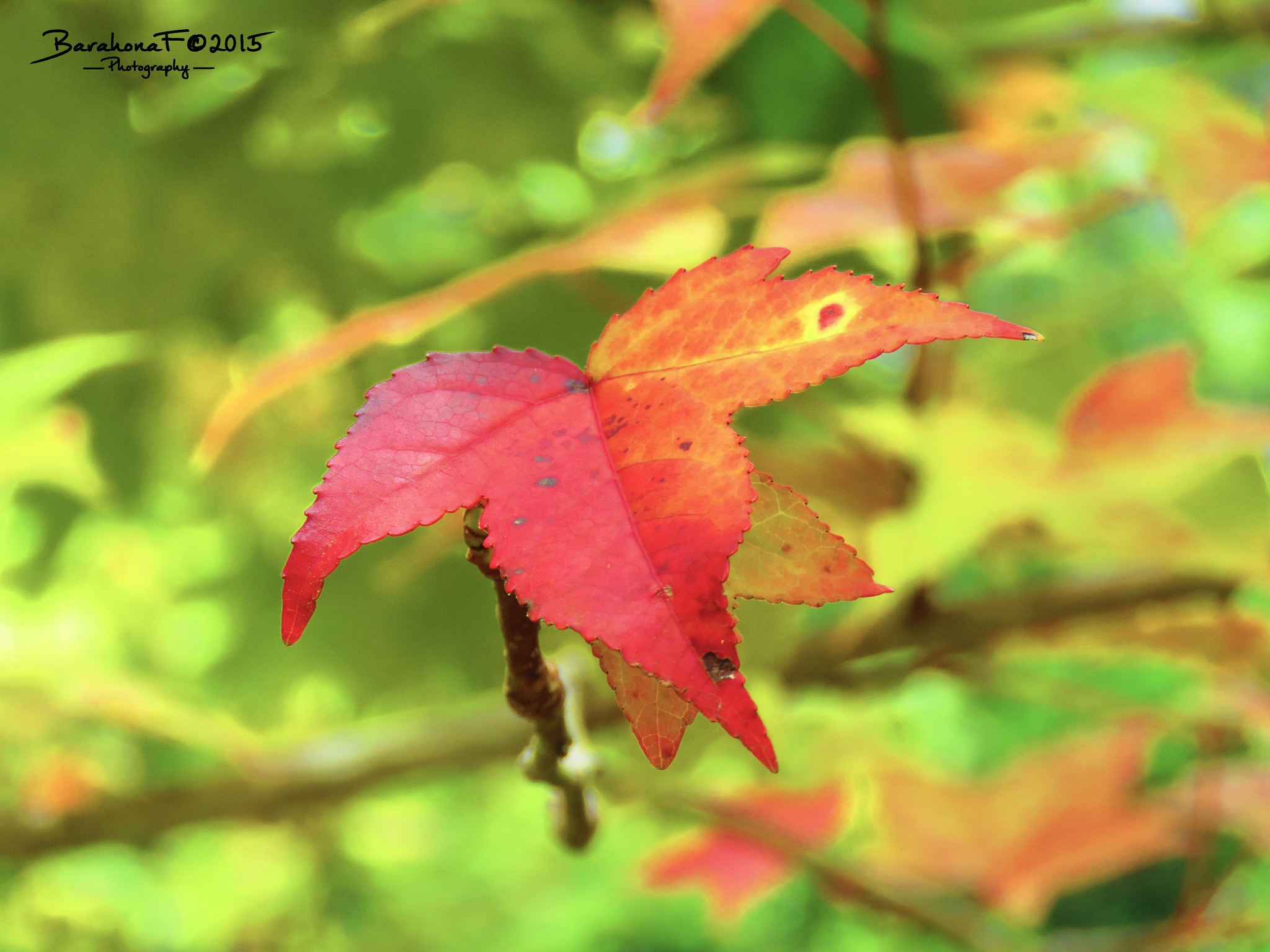 Sweetgum tree leaves by Fredy Barahona