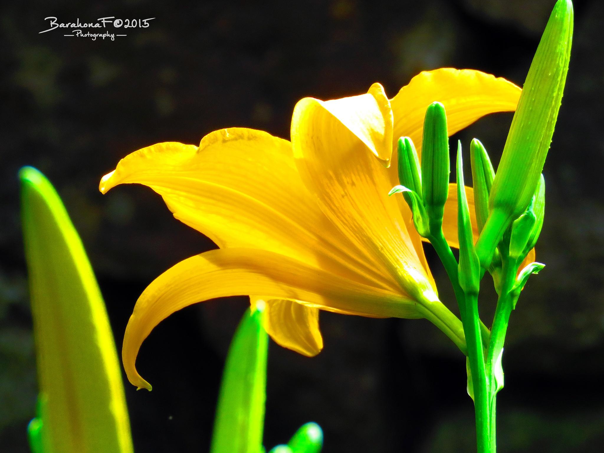 Lilies (2) by Fredy Barahona