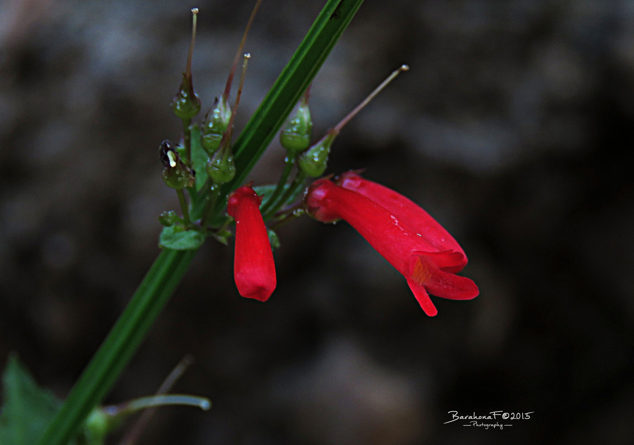 Red buttom by Fredy Barahona
