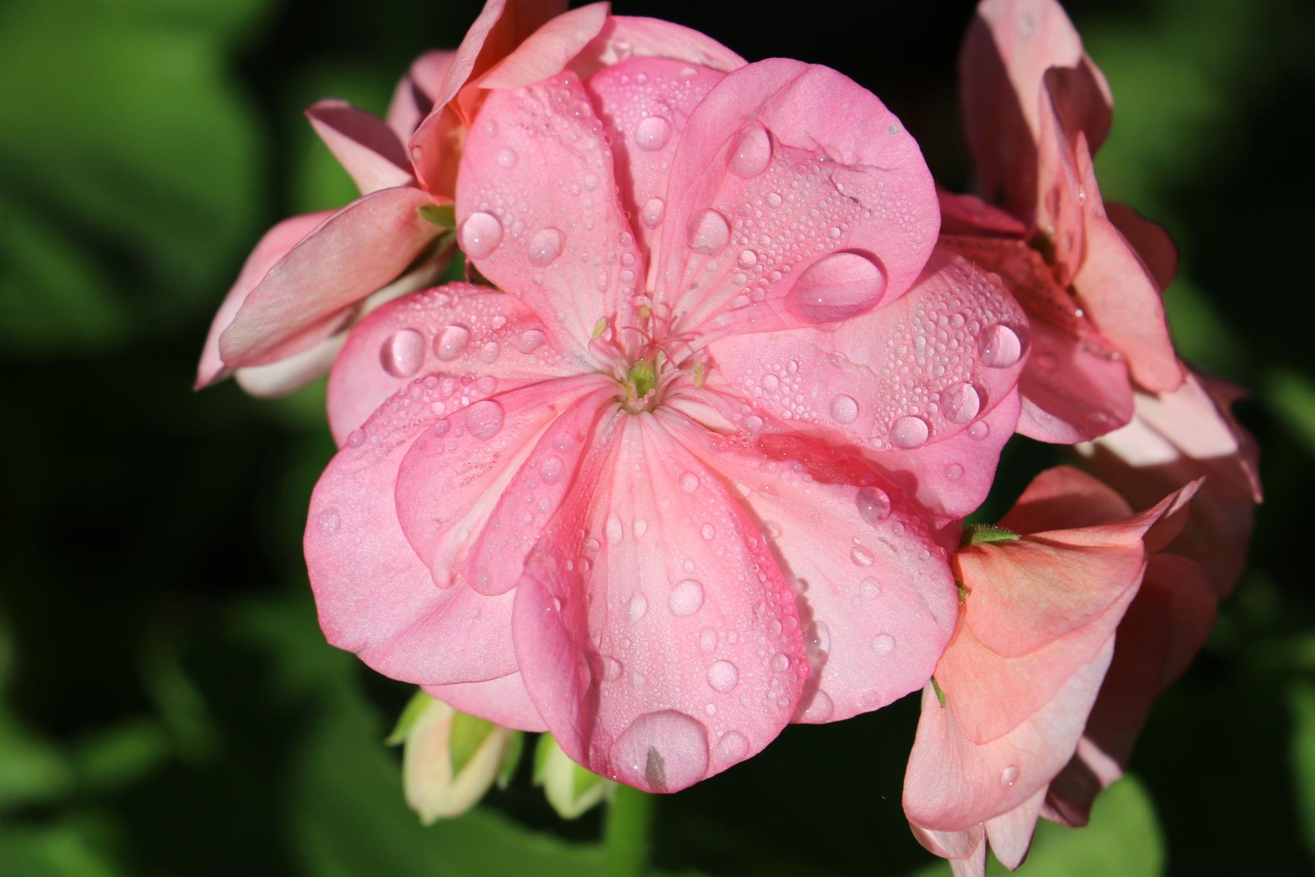 dew drops on geranium by Sanjeev Joshi