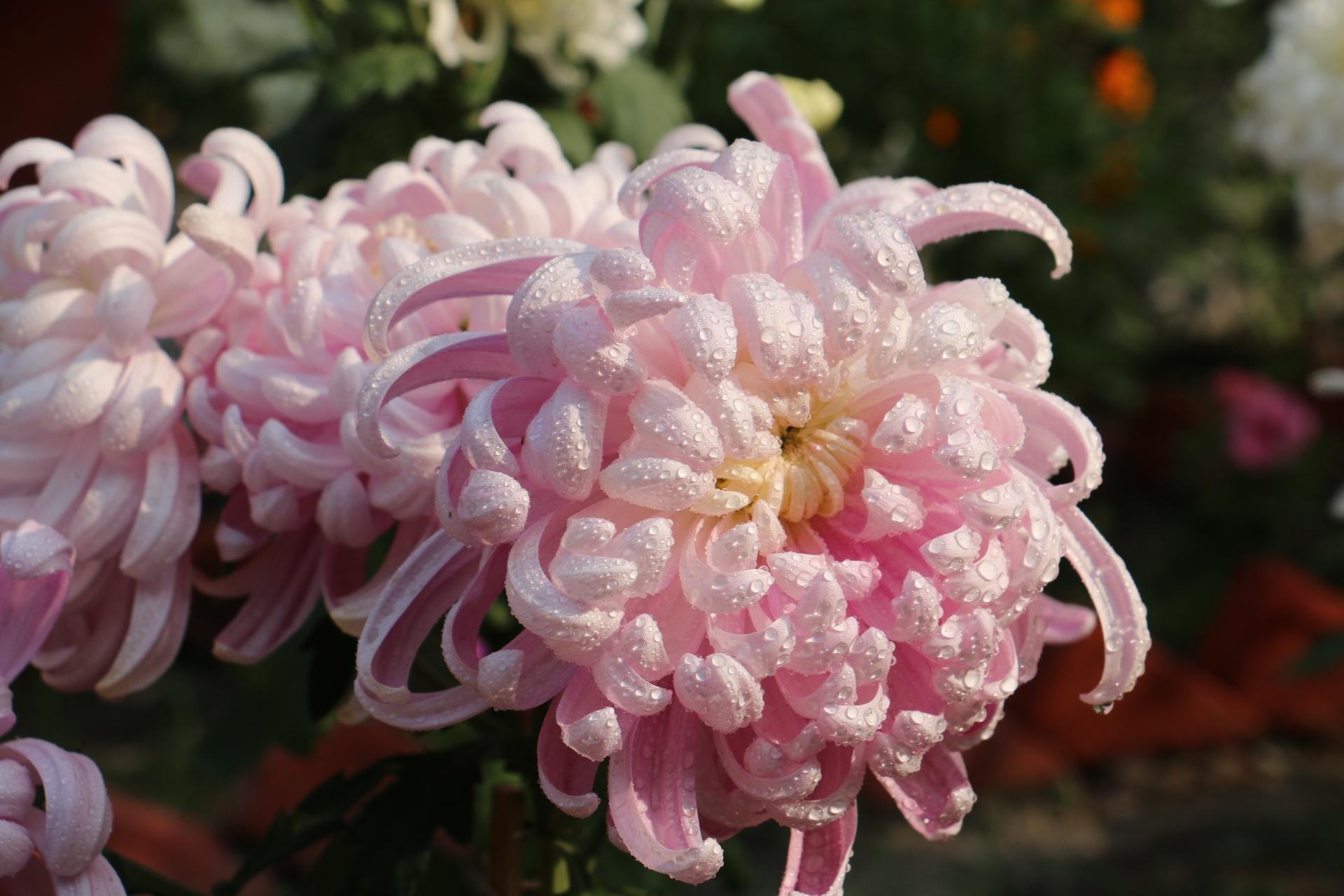 dewdrops on crysynthemum by Sanjeev Joshi