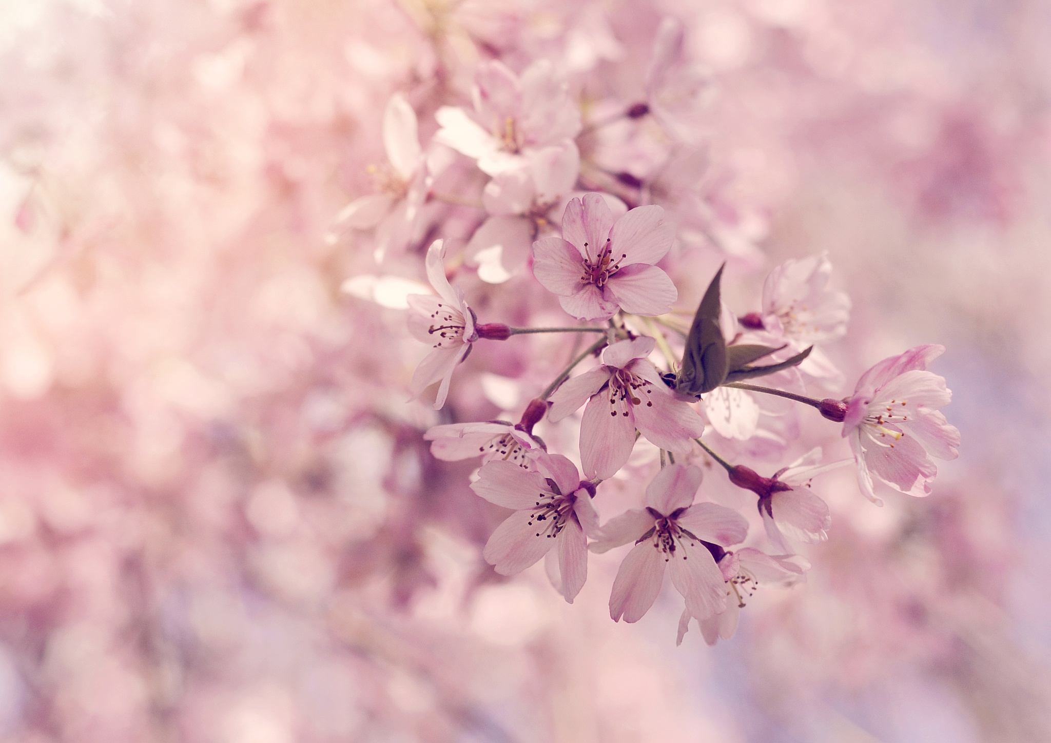 Cherry Blossom by rachelphillips100
