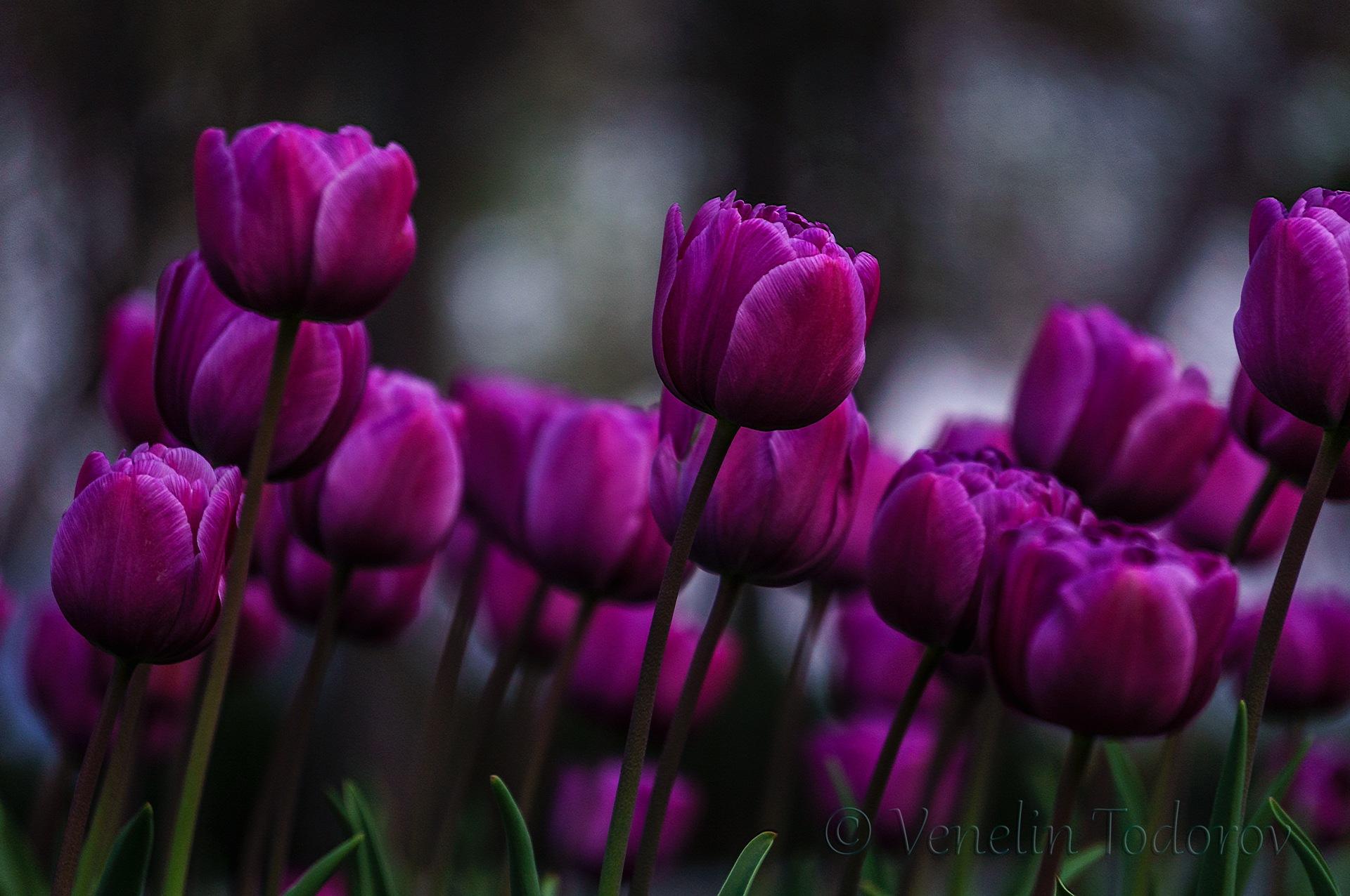Purple beauty  by Venelin Todorov