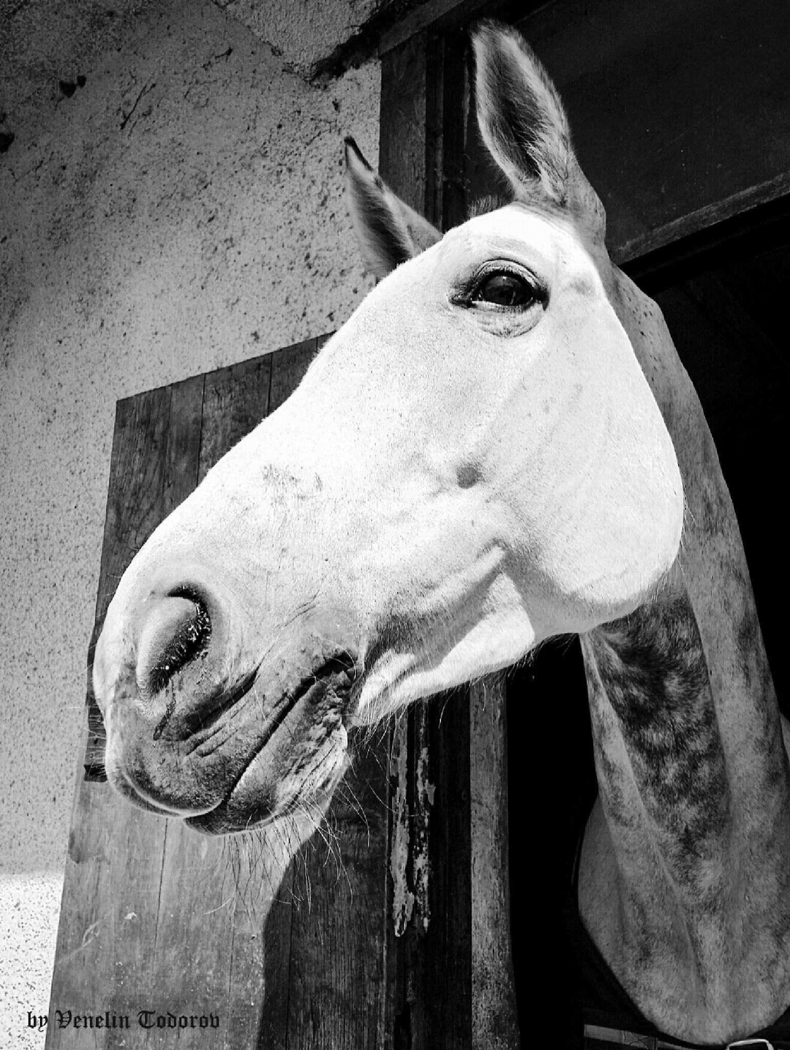 White horse_2 by Venelin Todorov