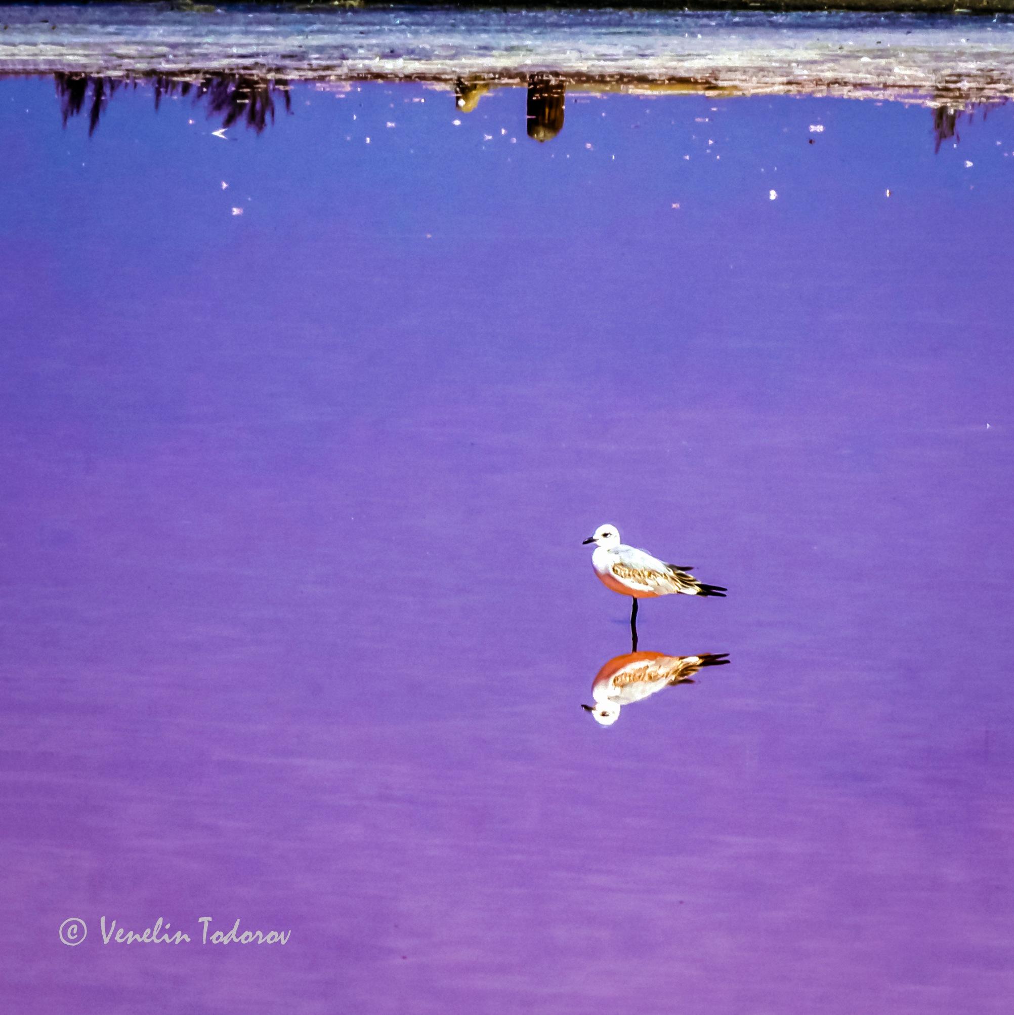 Bird in salt lake-Reflection by Venelin Todorov