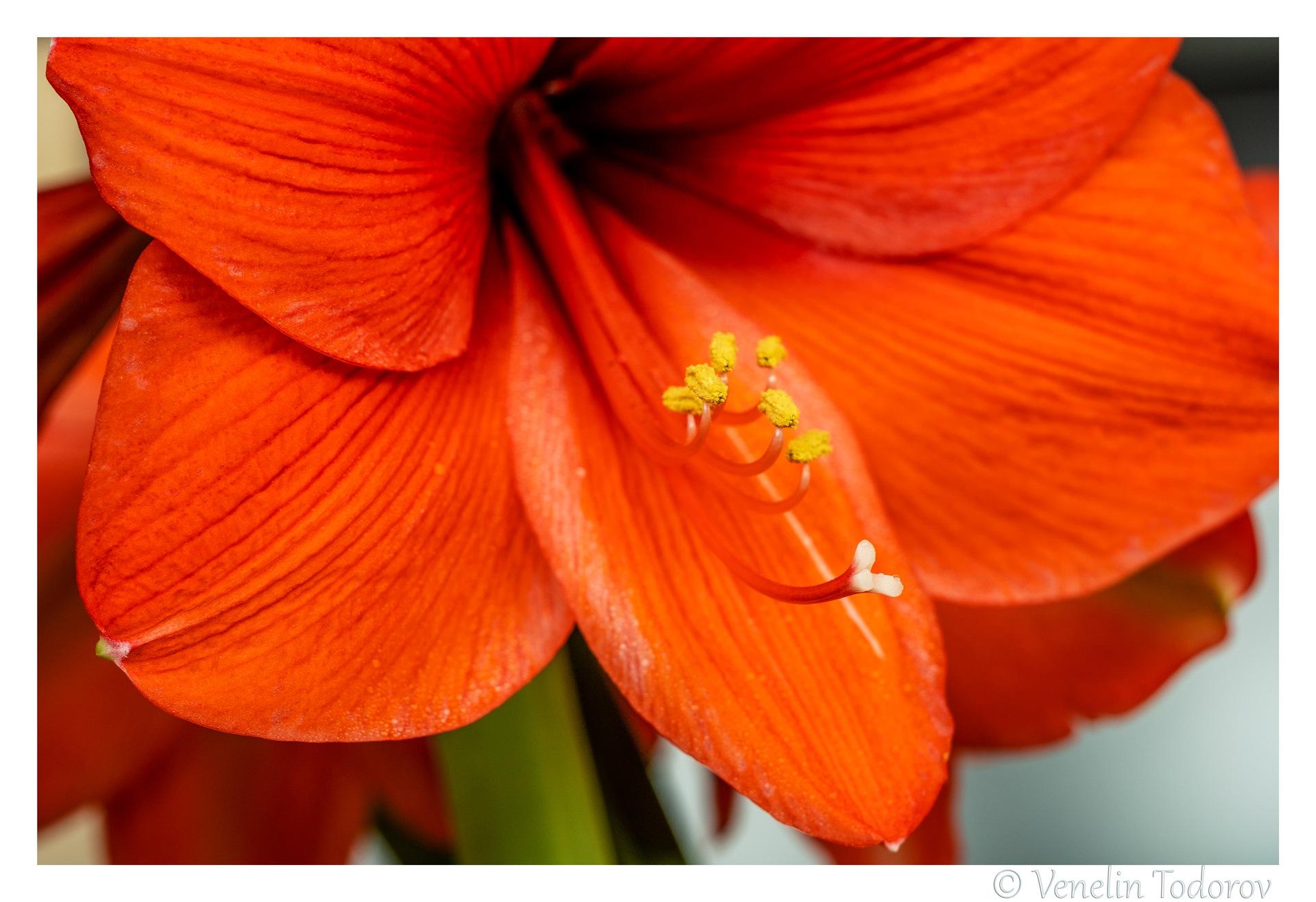 Amarilis, bloom and stamens by Venelin Todorov