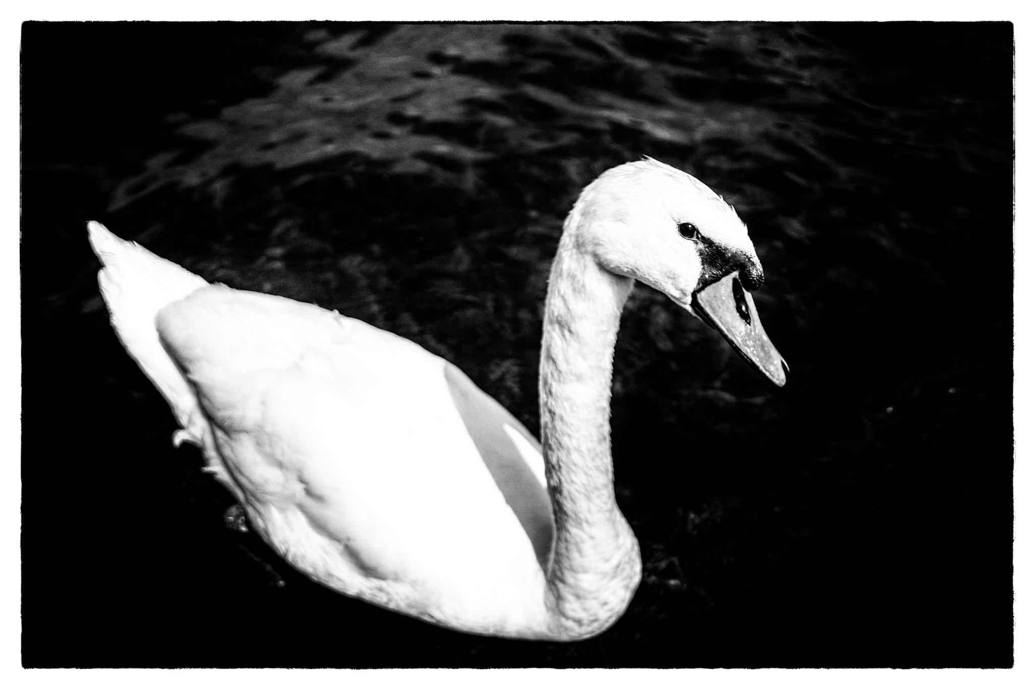 Swan-B&W by Venelin Todorov