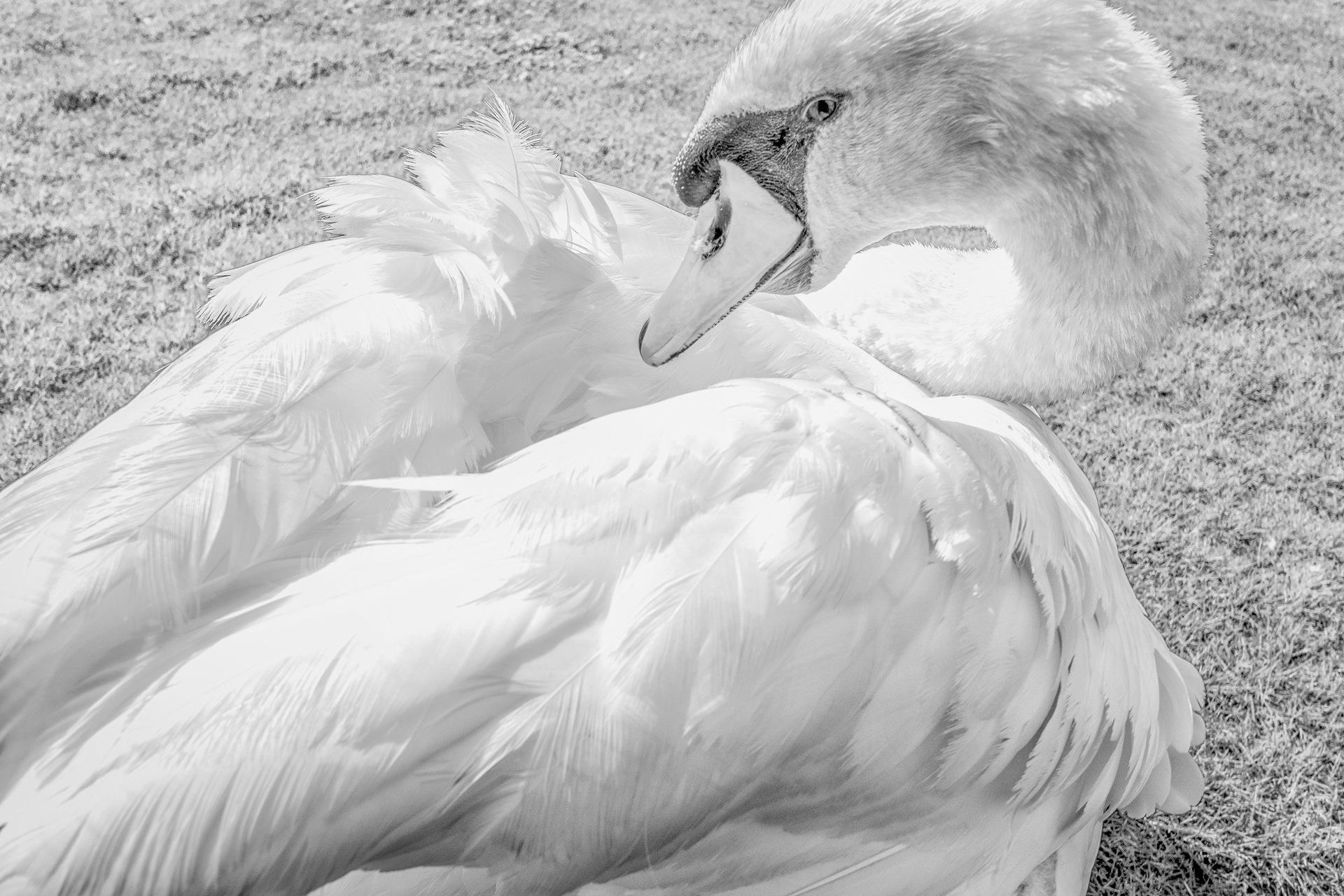 Swan in B&W by Venelin Todorov