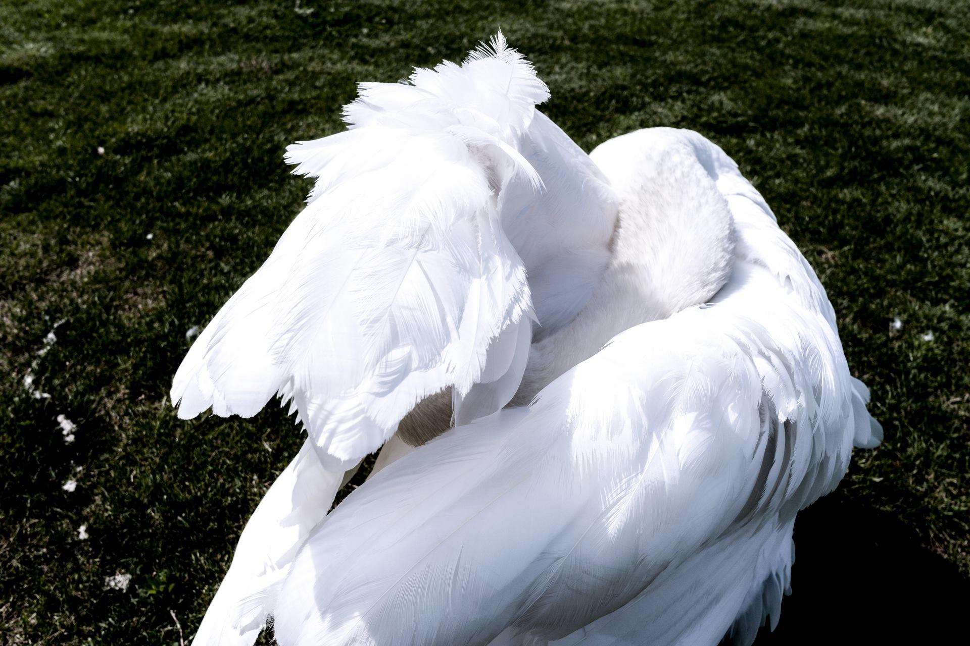 My beautiful and bashful swan by Venelin Todorov