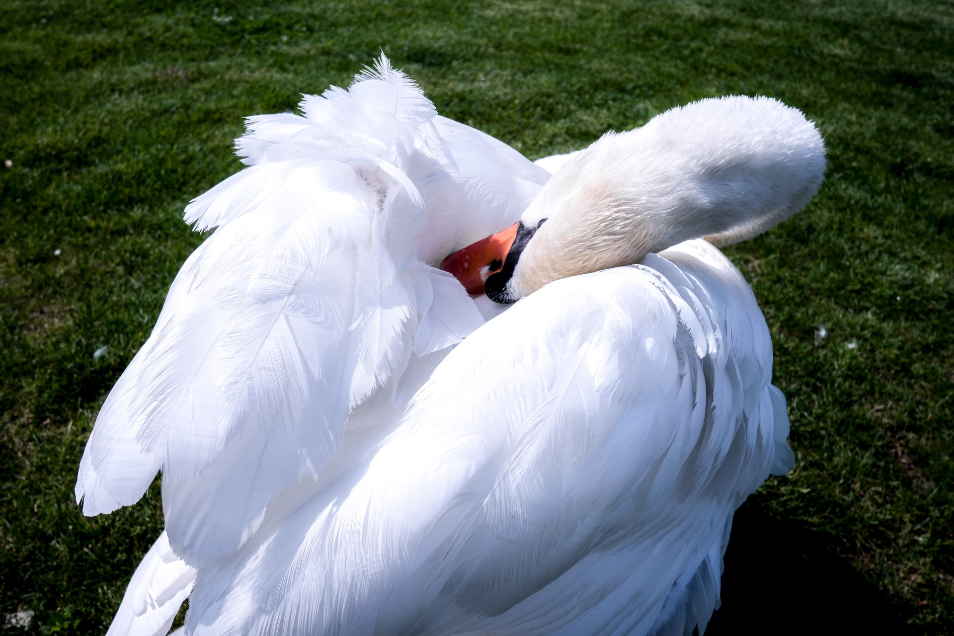 My shyness swan by Venelin Todorov
