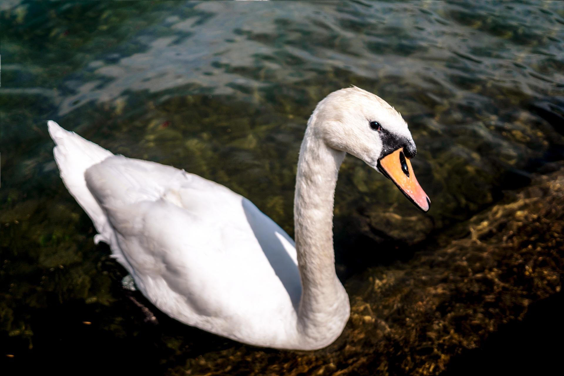 Swan by Venelin Todorov