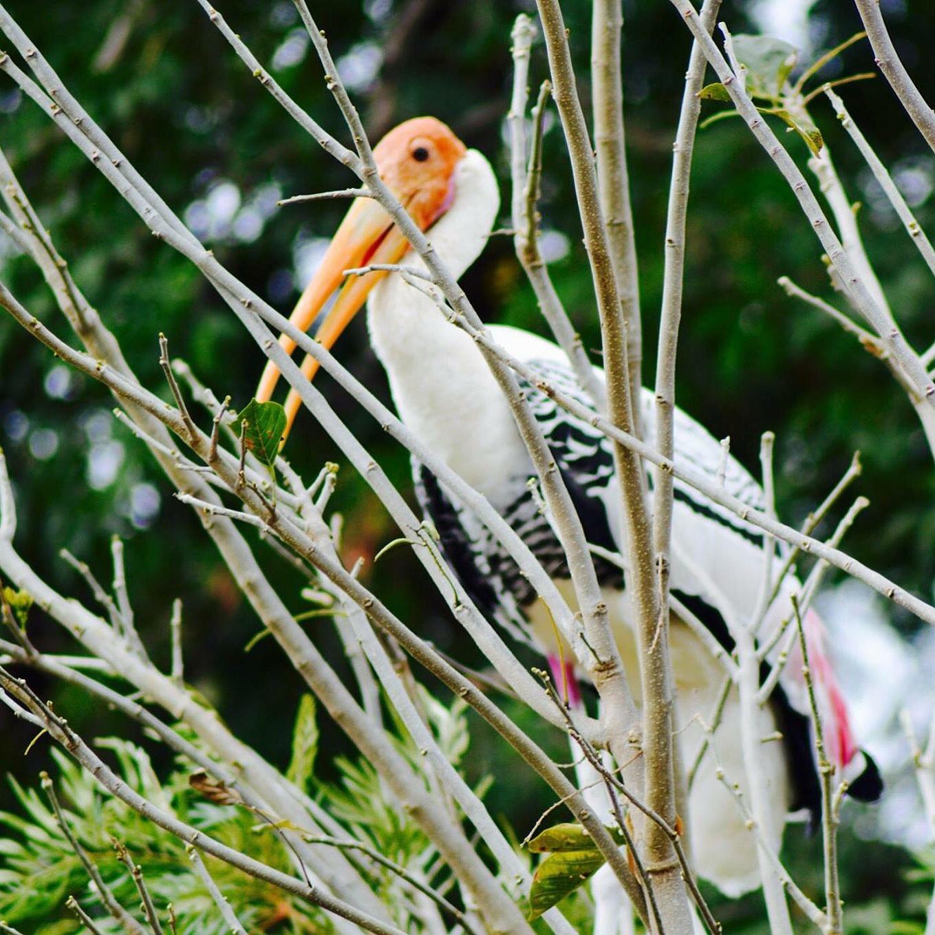 Painted Storks @Veerapuram Bird Sanctuary #storks #birdsanctuary #nature by chetaninamdar