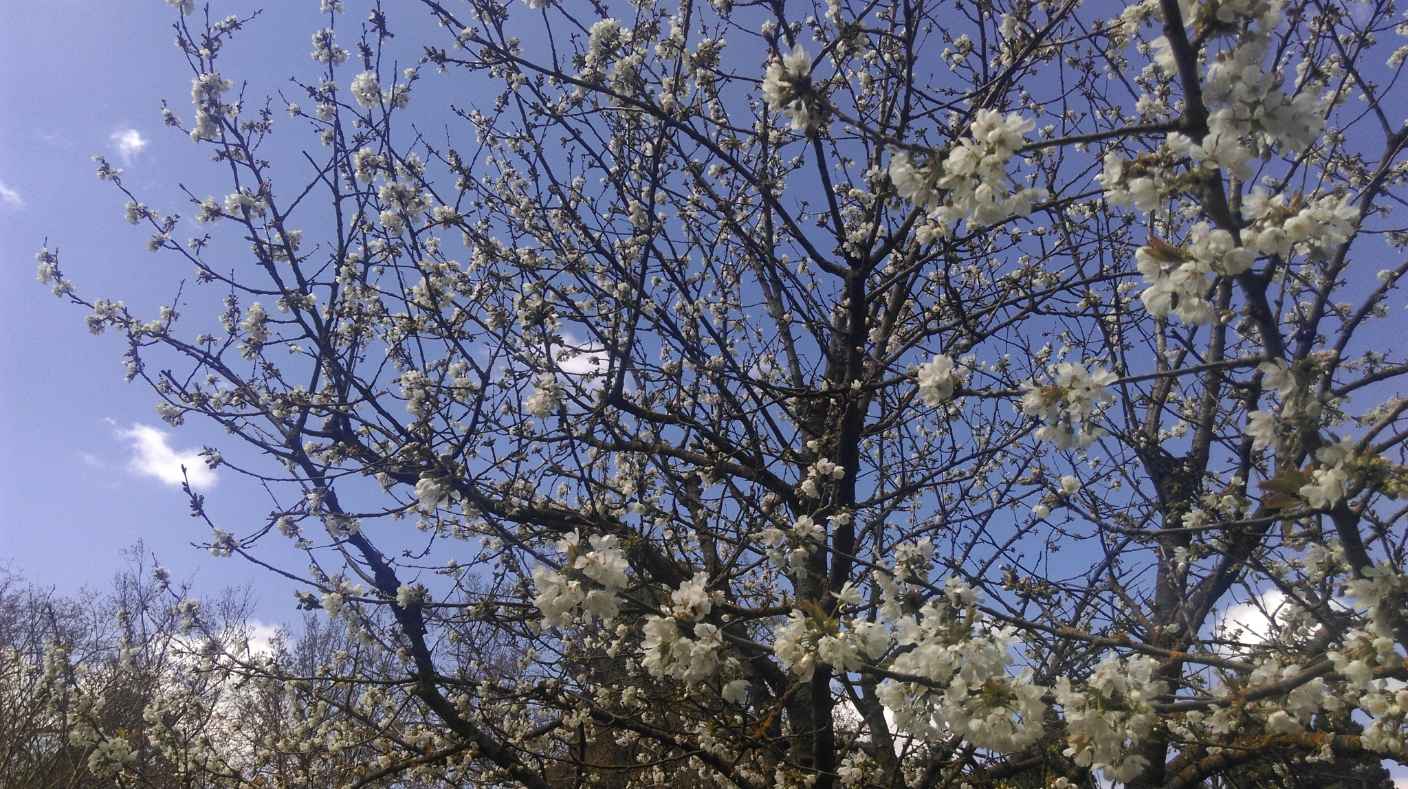The first blossoms of spring by Paul Shrimpton