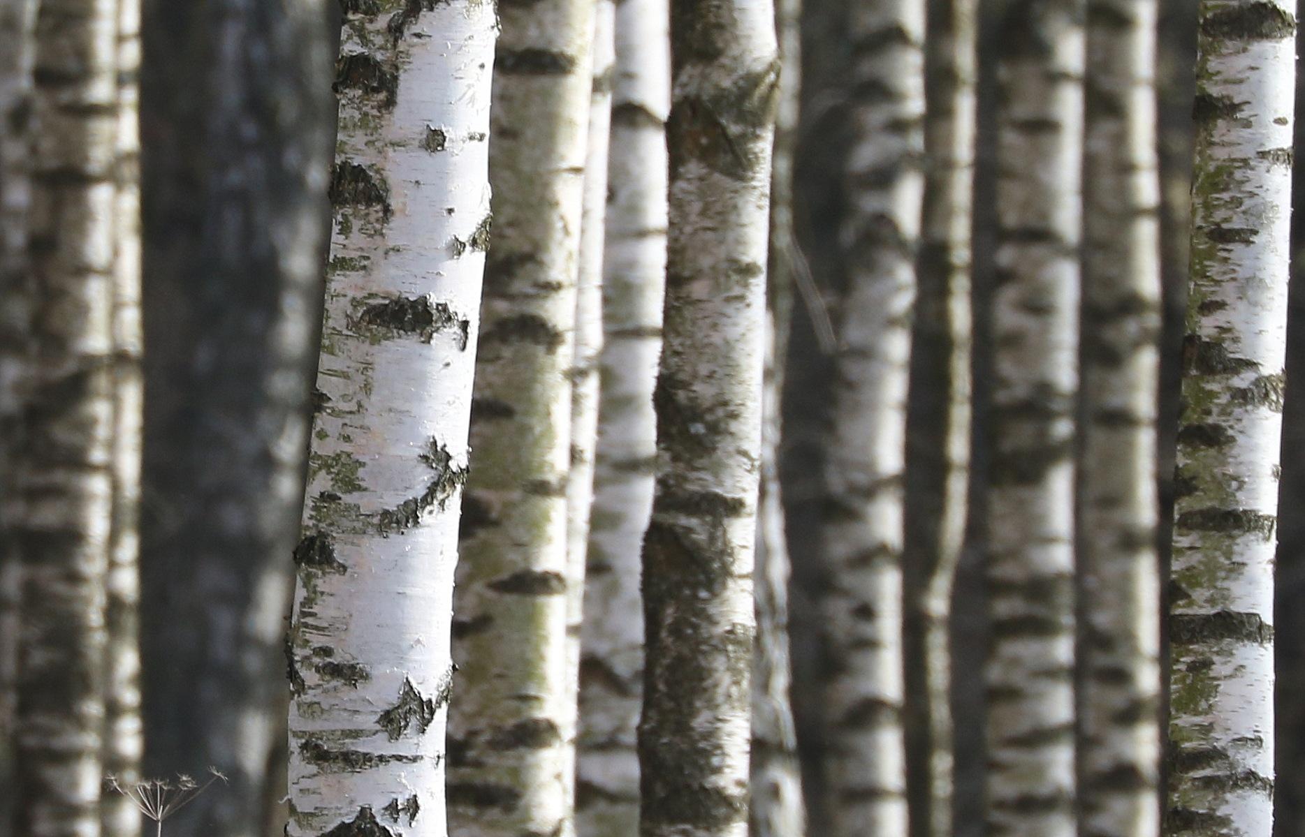 Birches by AnnDessnert