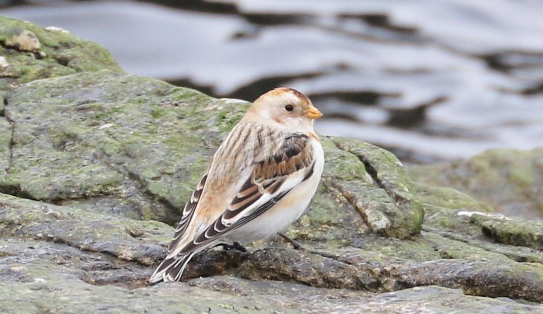 Snow sparrow by AnnDessnert