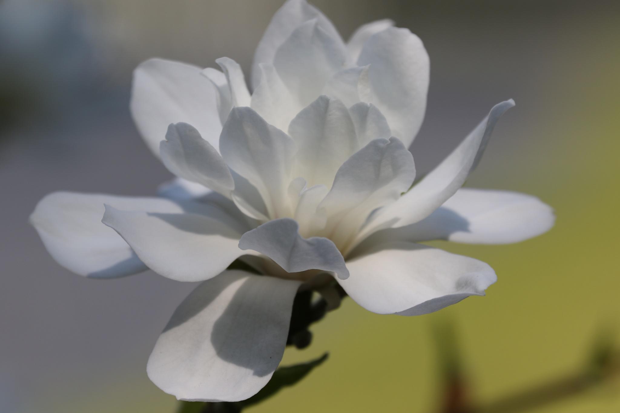 Magnolia by AnnDessnert