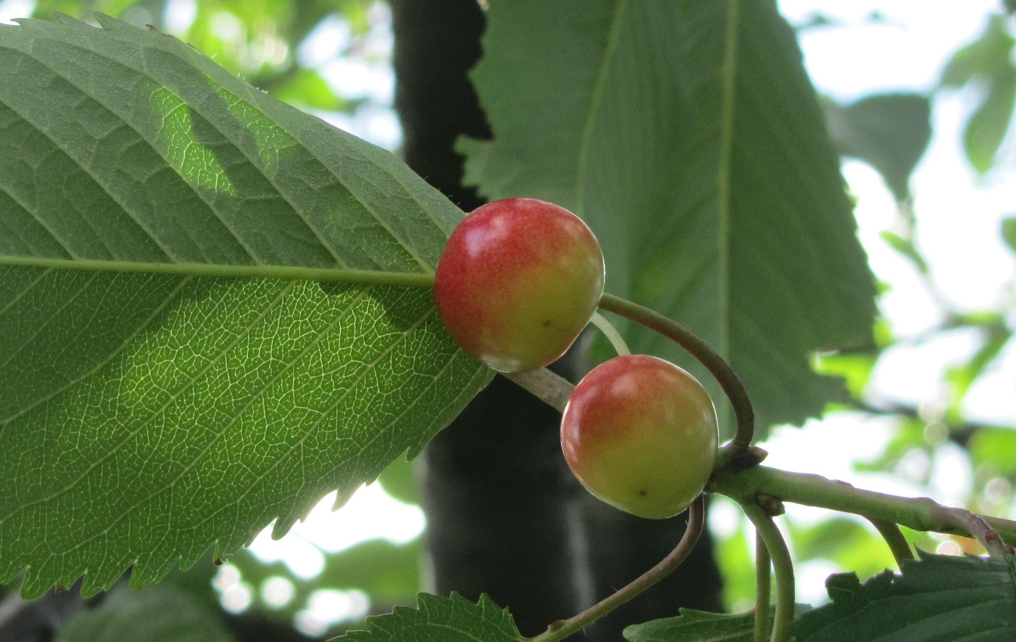 Cherry, cherry, baby... by AnnDessnert